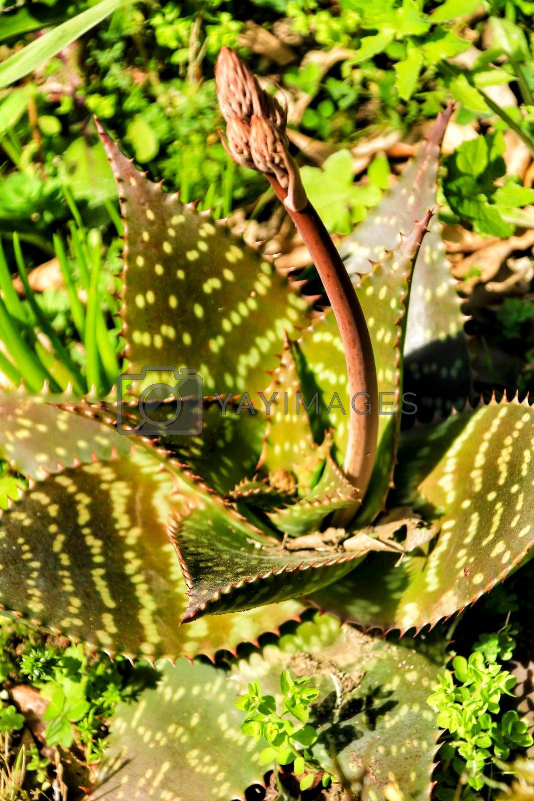 Beautiful aloe maculata plant in the garden in spring