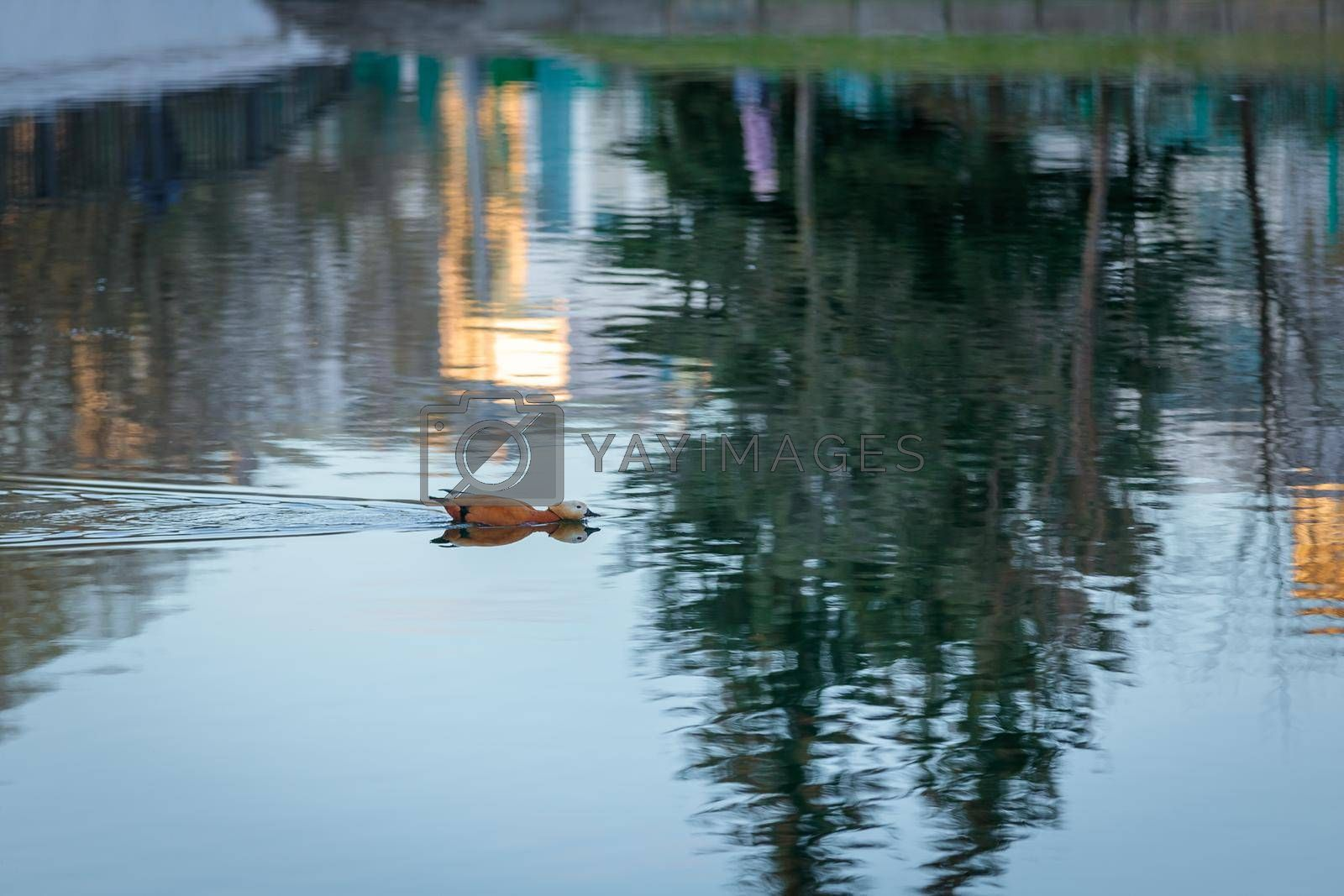 The duck swims in the city pond against the backdrop of the setting sun. Reflections of trees in the water.
