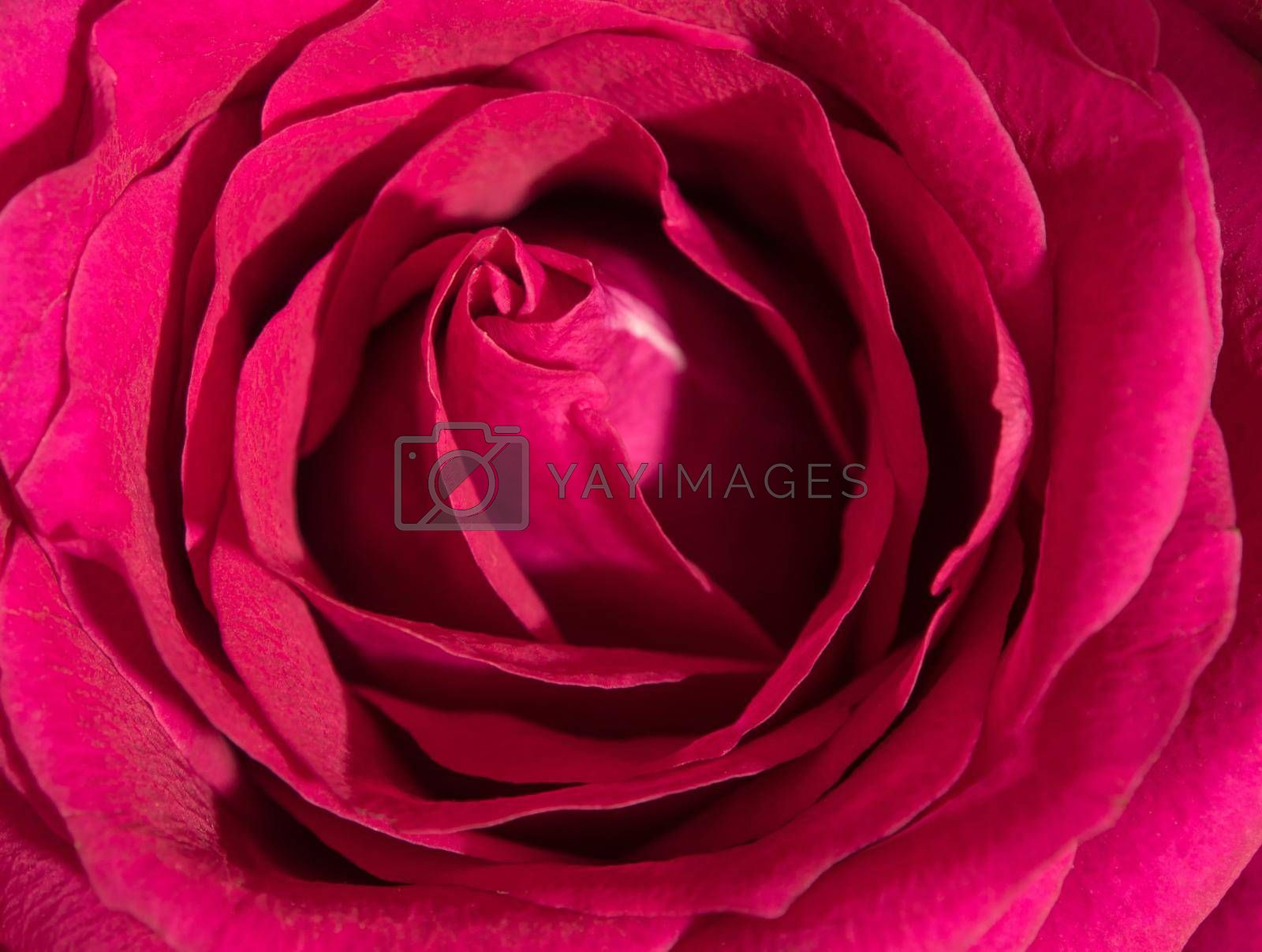 Royalty free image of Sweet color of pink rose , Romance color natural floral background by Satakorn
