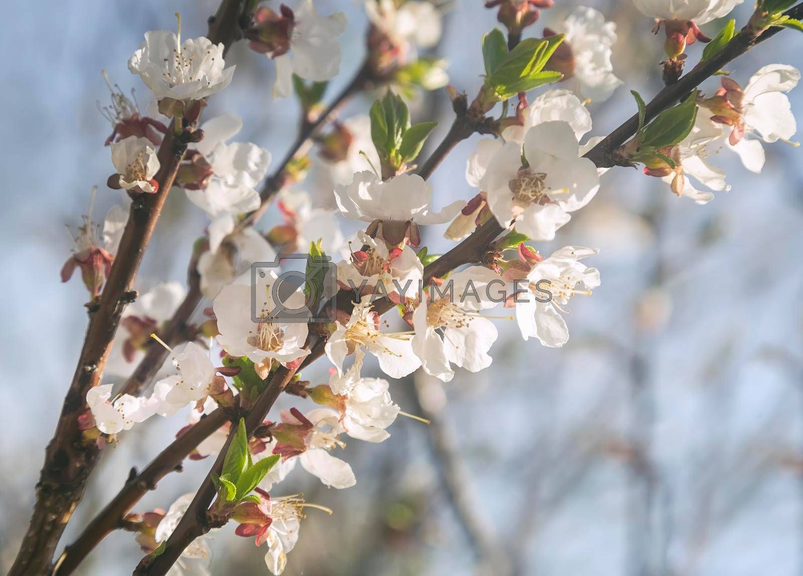 Royalty free image of A branch of a blooming apricot against the blue sky. by georgina198