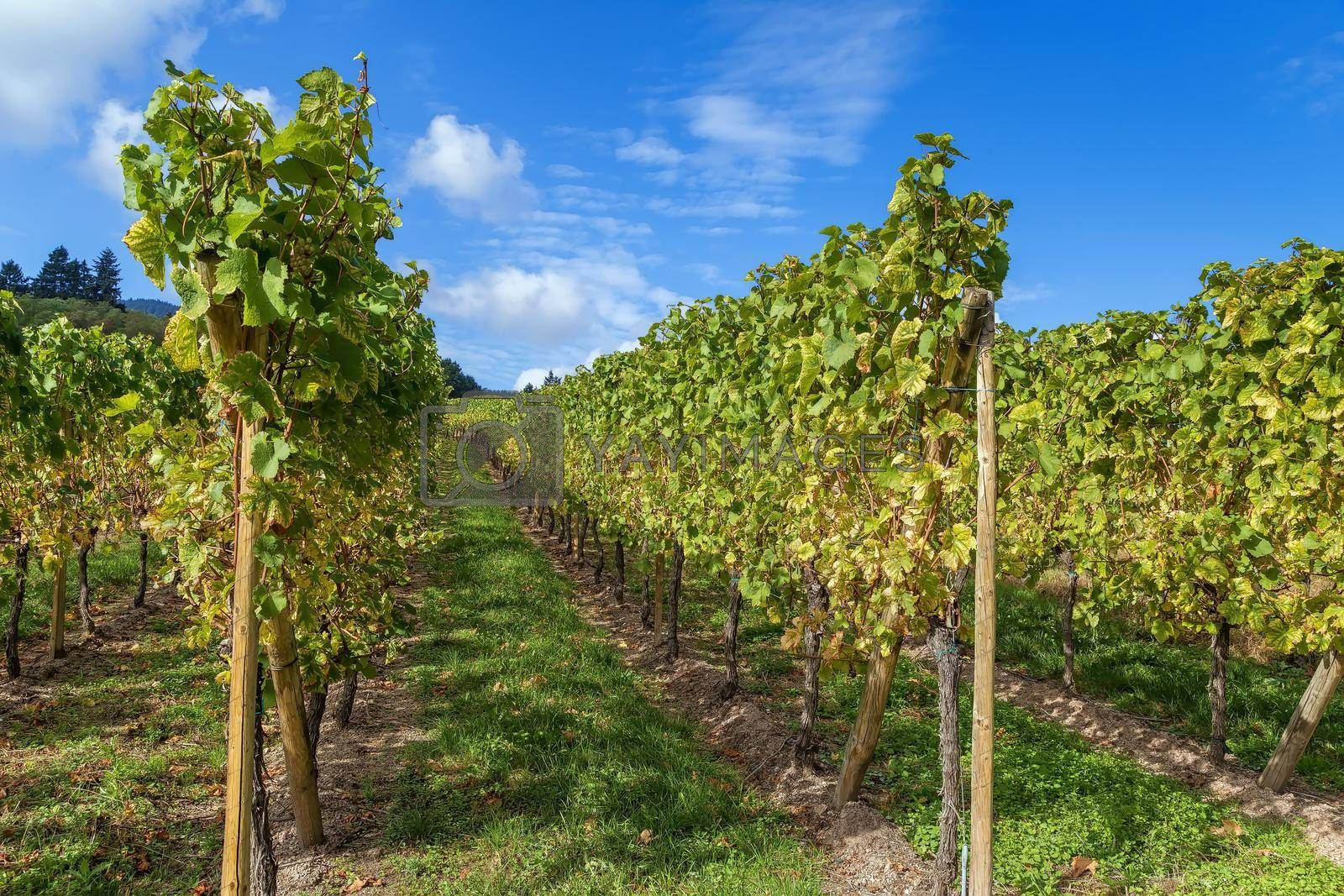 Royalty free image of Vineyard in Alsace, France by borisb17