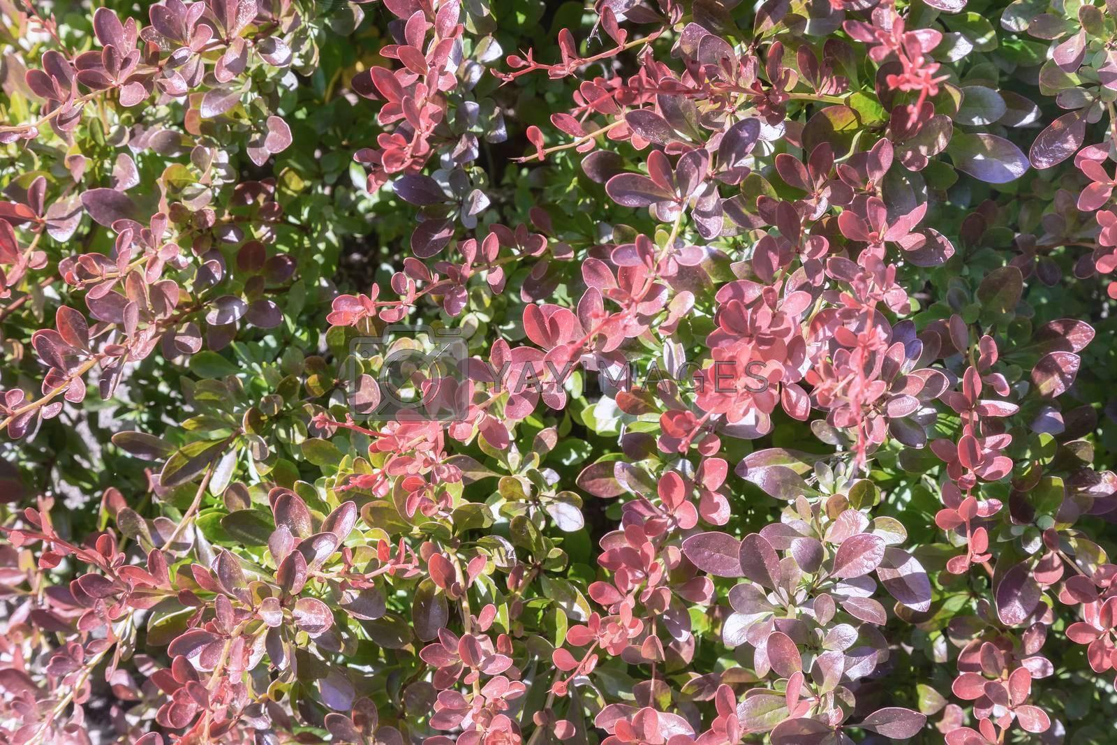 Royalty free image of Barberry Thunberg is a beautiful ornamental shrub . by georgina198