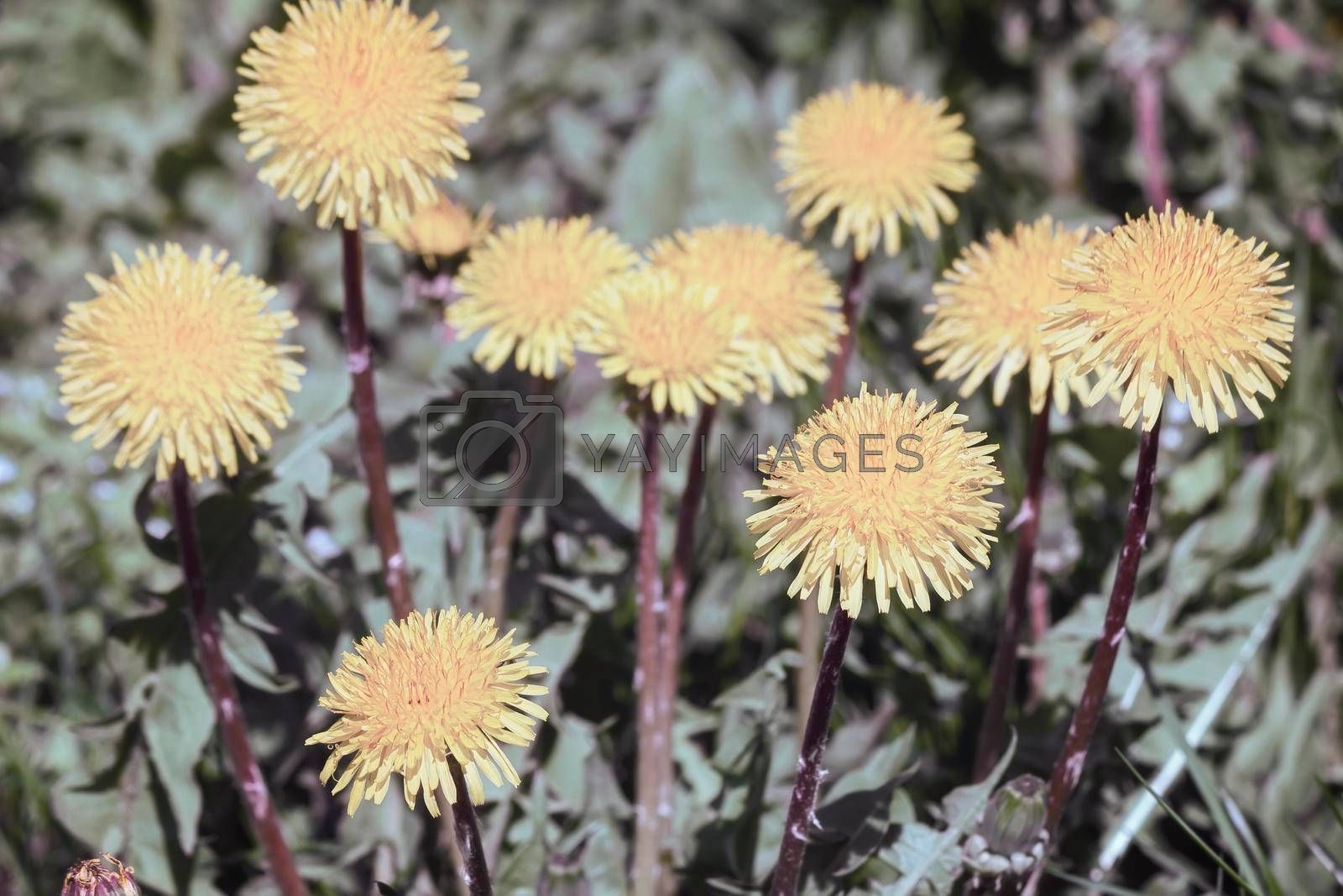 Royalty free image of Blooming yellow dandelions among the green grass by georgina198