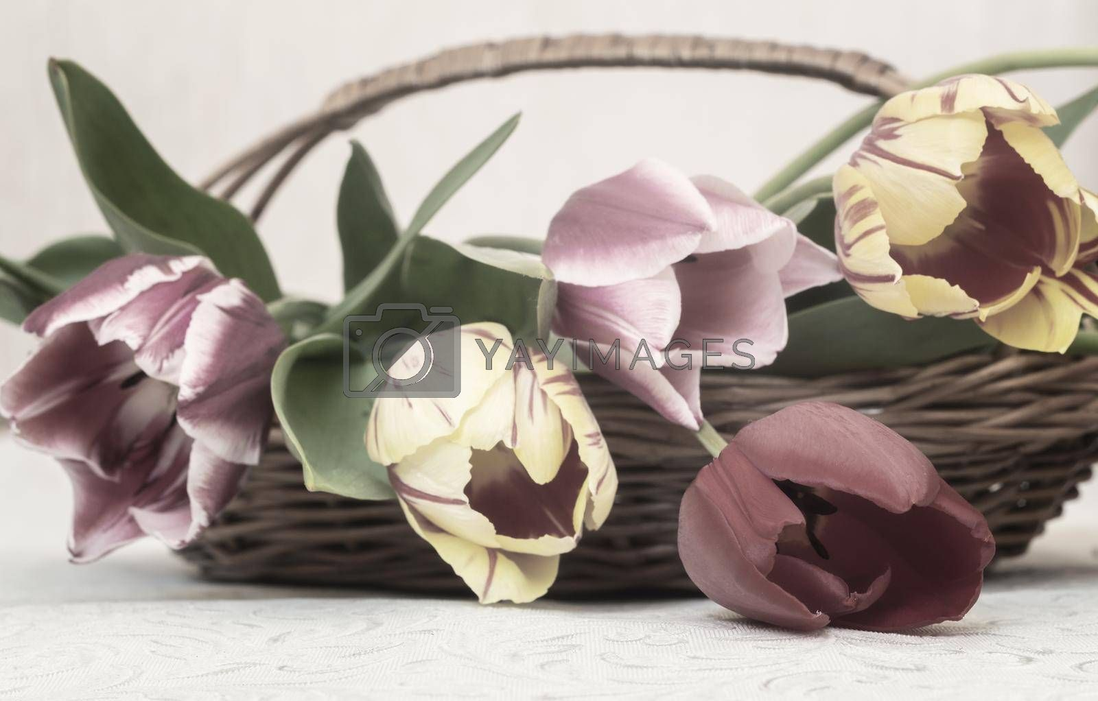 Royalty free image of Bouquet of beautiful tulips in a wicker basket by georgina198