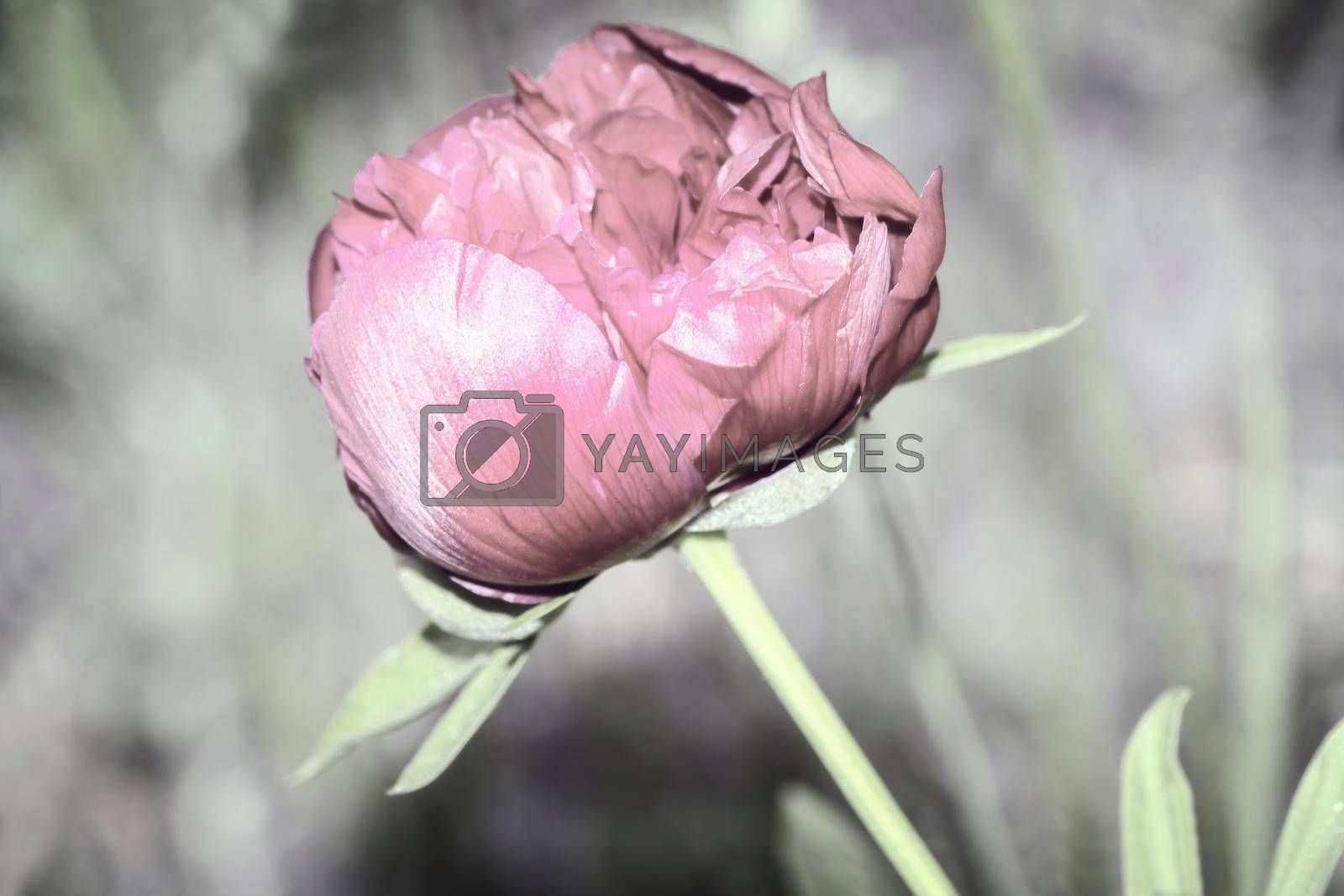 Royalty free image of Blooming peony in the garden among green leaves by georgina198