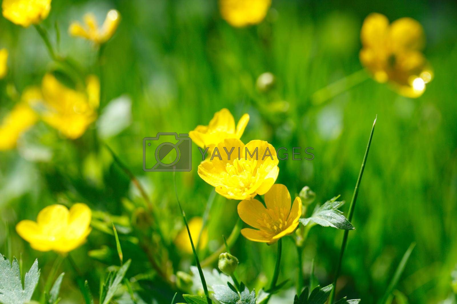 Royalty free image of Yellow buttercup in green grass by Yellowj