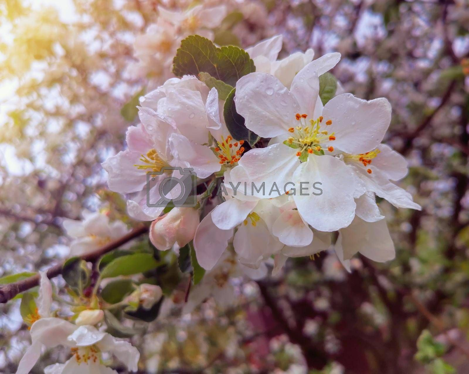Royalty free image of The branches of Apple trees, profusely covered with white flowers. by georgina198