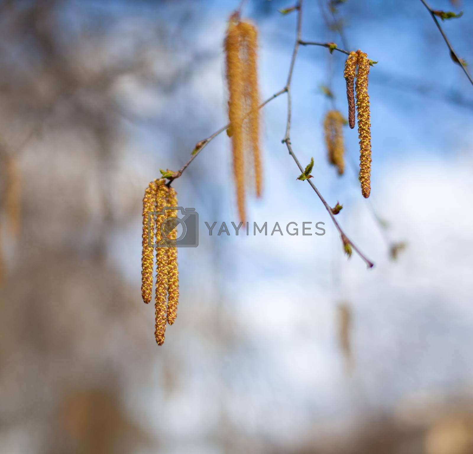 Nice sunny view of the birch branches. Buds and bright green, small leaves thrives. Decorative birch flower- long, slender catkins hang on tree branches. The arrival of spring, seasonal allergies.