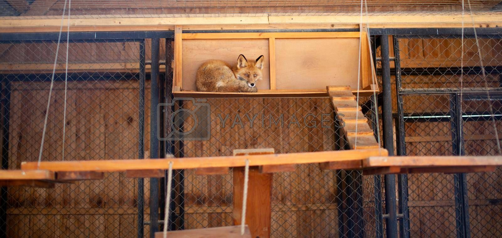 A wild red fox lies in a cage in the zoo. Lesa has a beautiful, warm and red fur. High quality photos