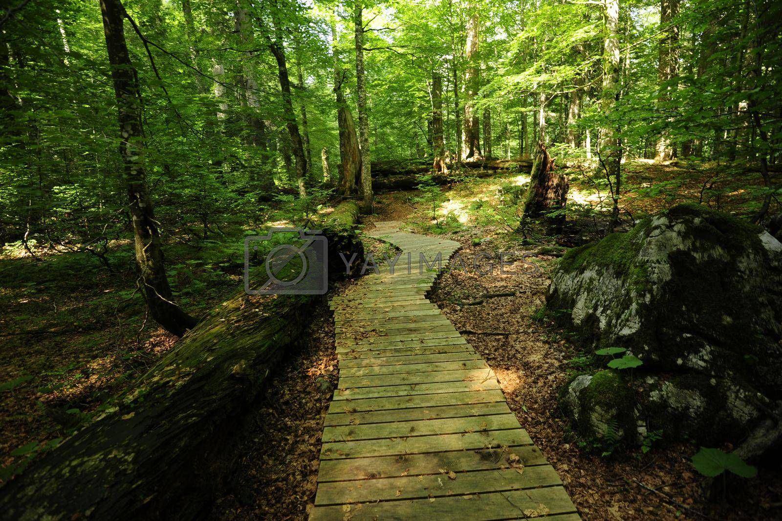 the jungle or primeval forest Rothwald nature reserve in Austria