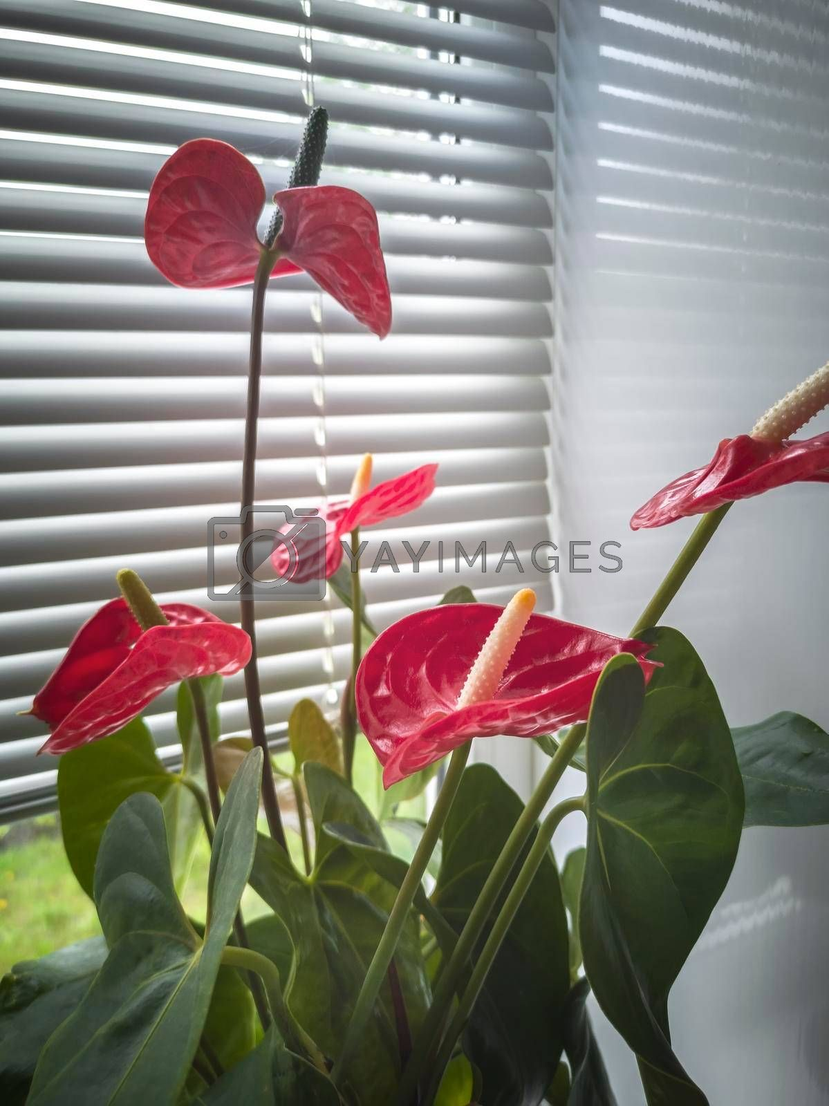 Royalty free image of Beautiful blooming indoor anthurium flower on the windowsill by georgina198