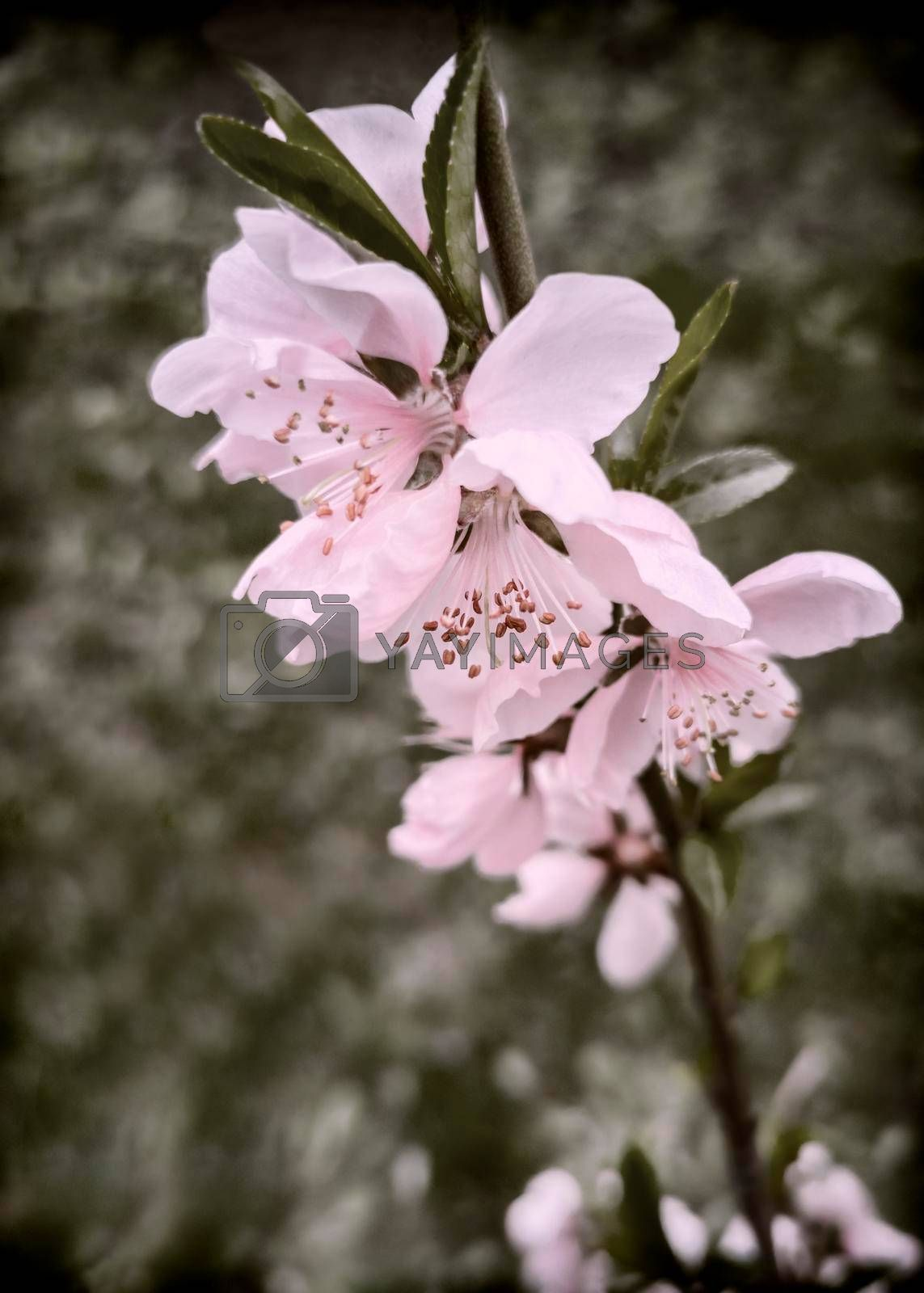 Royalty free image of Peach blossom branch with beautiful pink flowers by georgina198