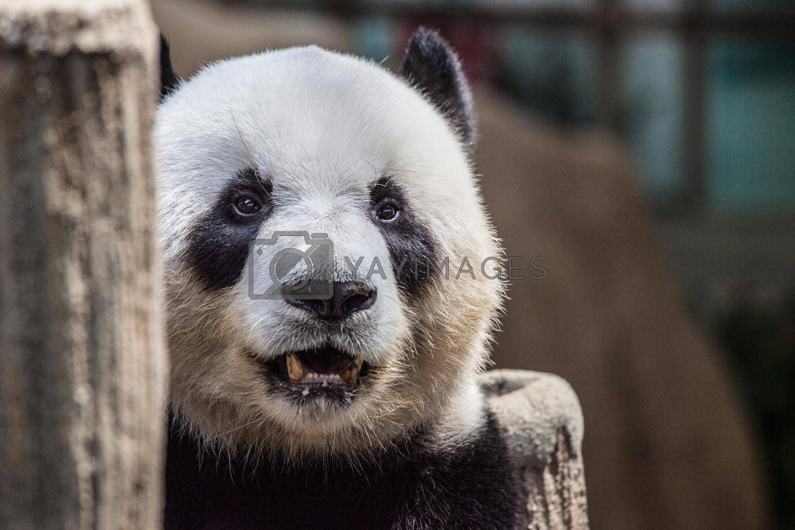 Royalty free image of Portrait of a panda by Yellowj