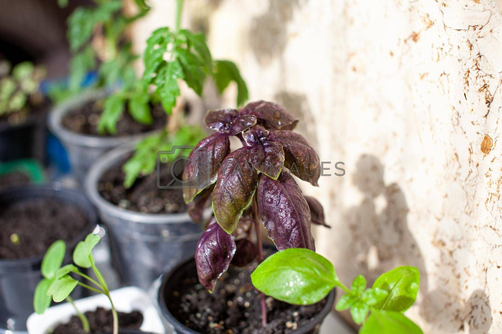 Close-up of purple basil and other green plants grown in a tray on a home windowsill. Seedlings of domestic plants. Healthy food concept, vegan concept. Home gardening.