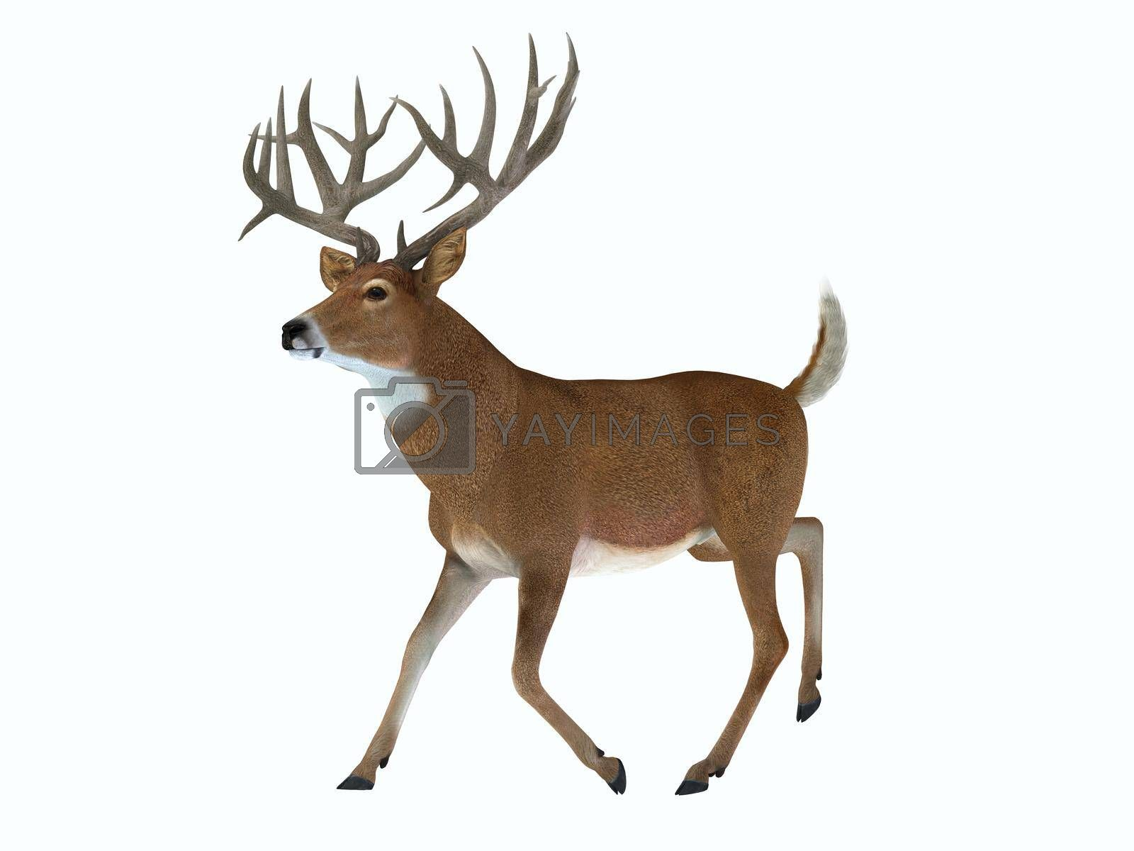 The White tailed deer lives in herds in North and South America and is an abundant wildlife animal.