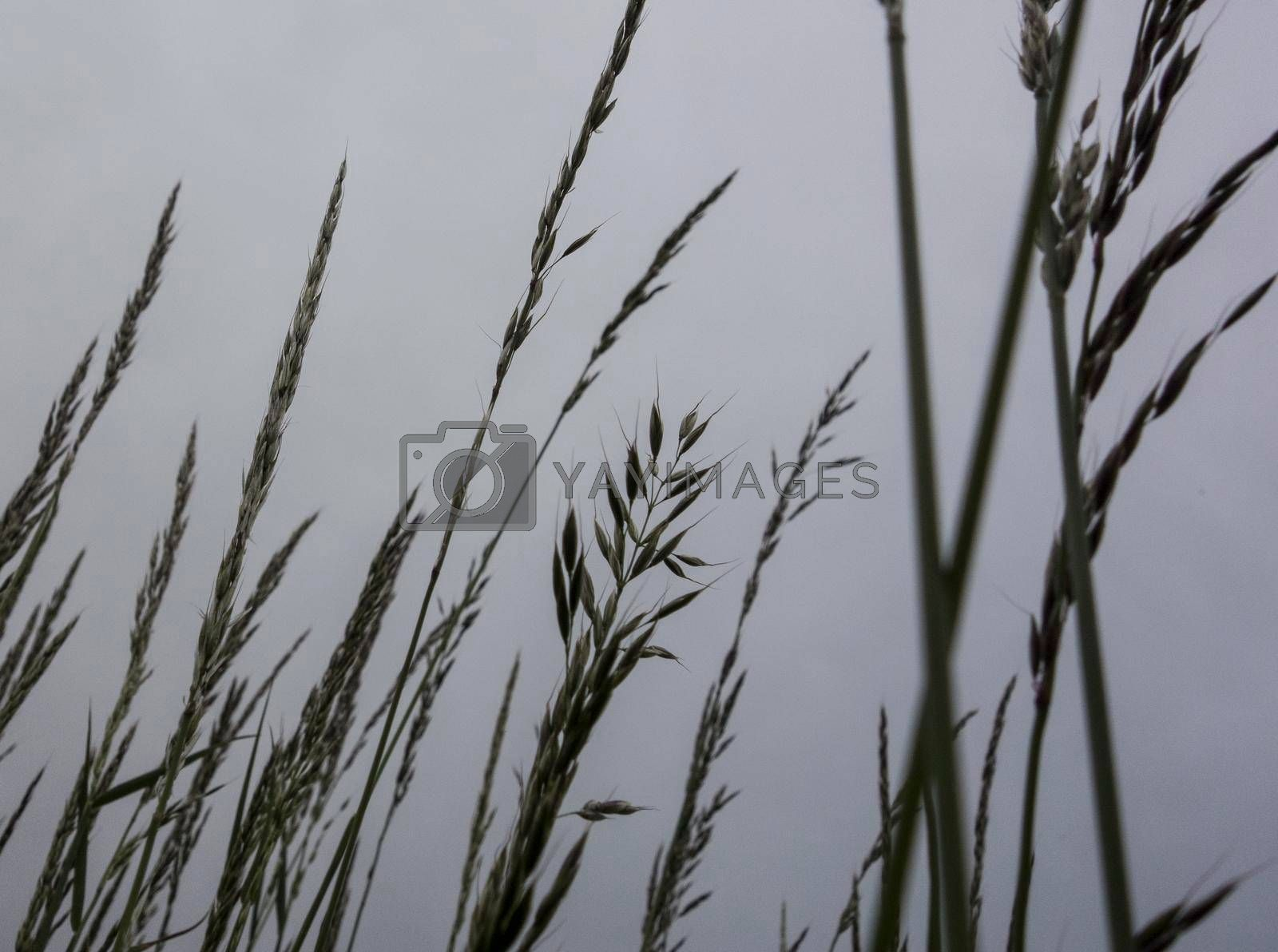 Wheat field in agriculture, growing cereal crops for food production