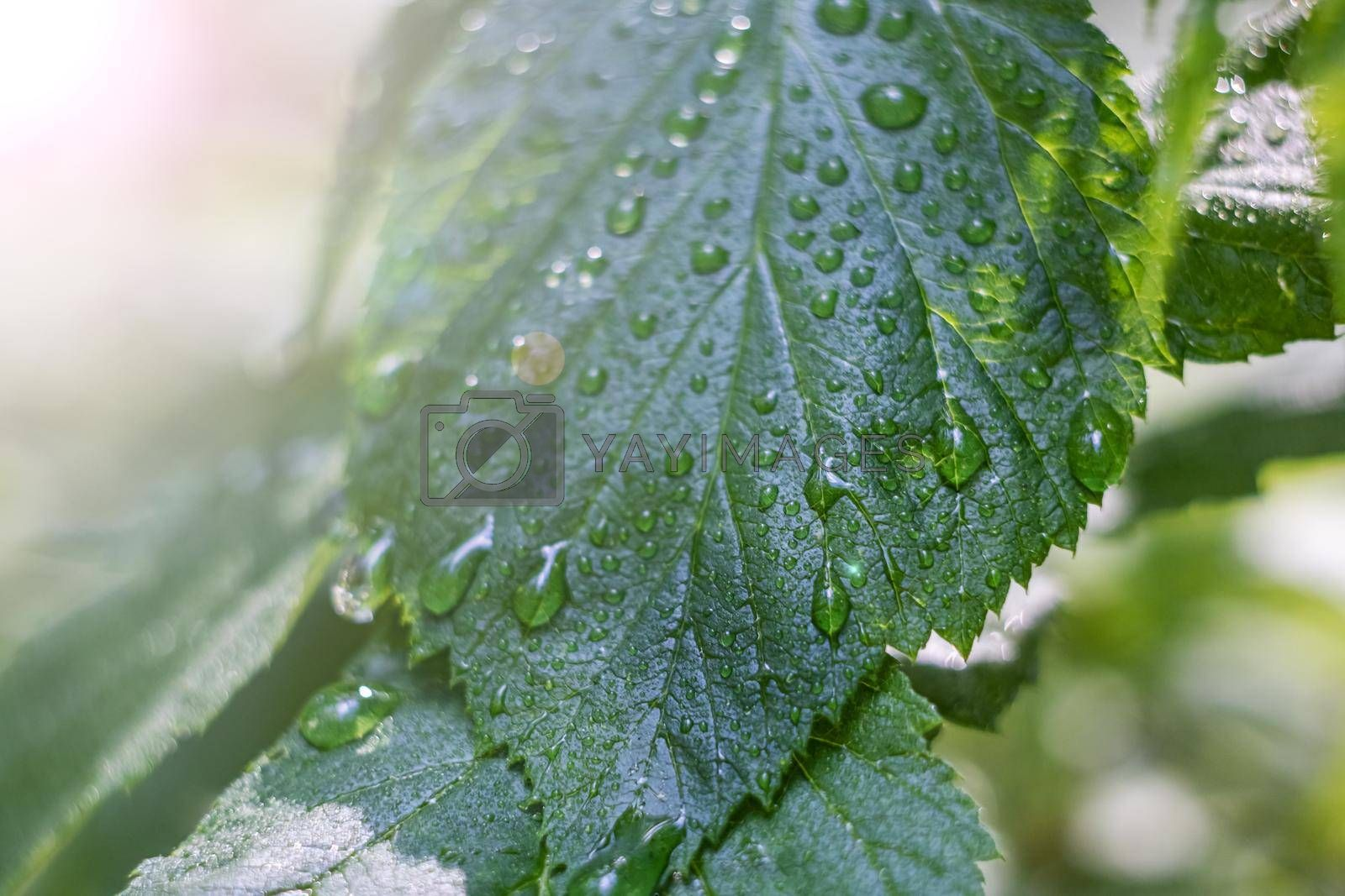 Leaves of grass with dew drops close up, macro photo