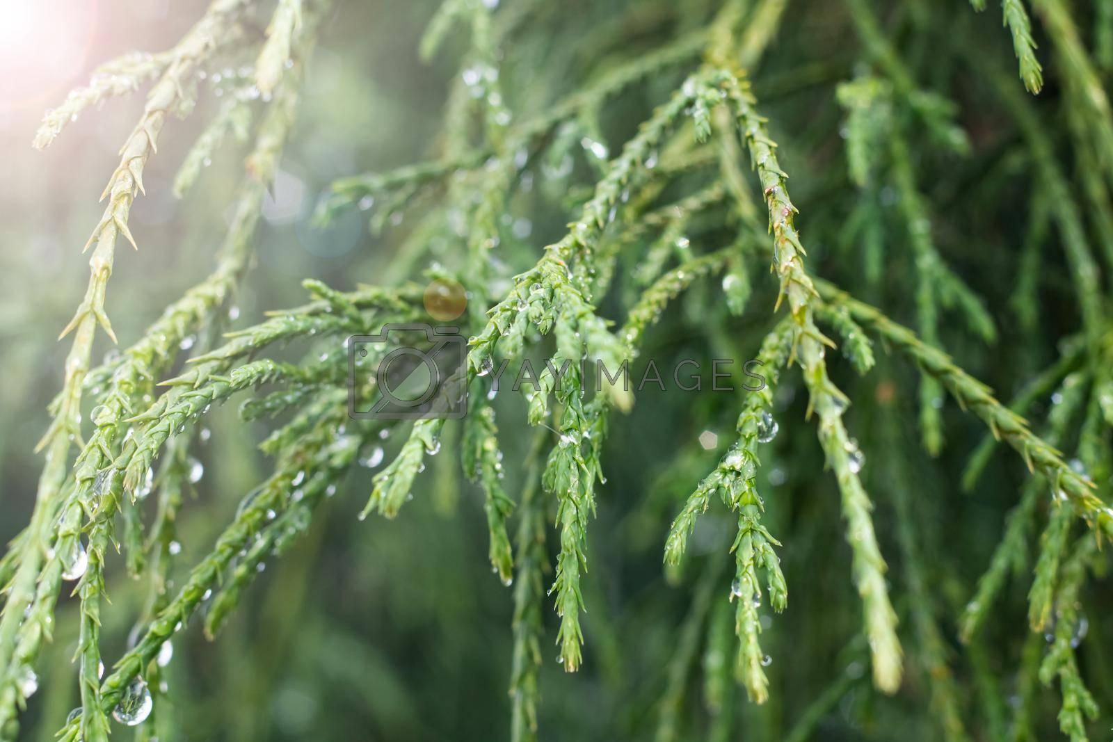 Green thuya branches with water drops close up, macro photo