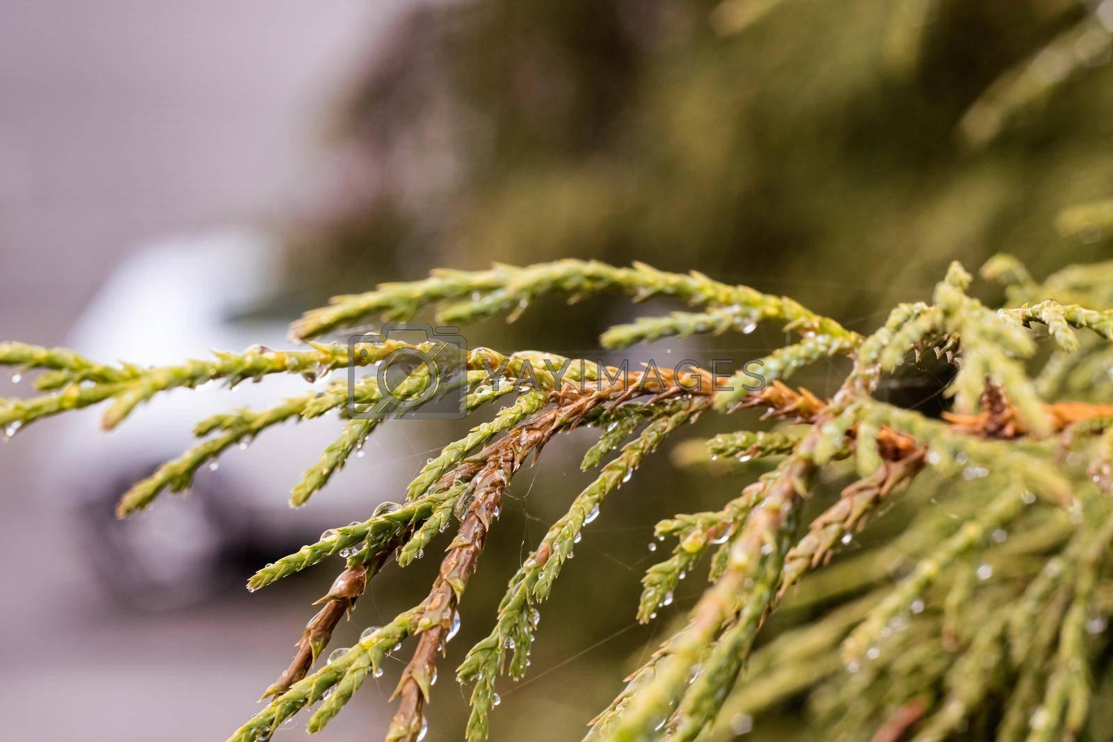 Green thuya branches with water drops and cobweb close up, macro photo