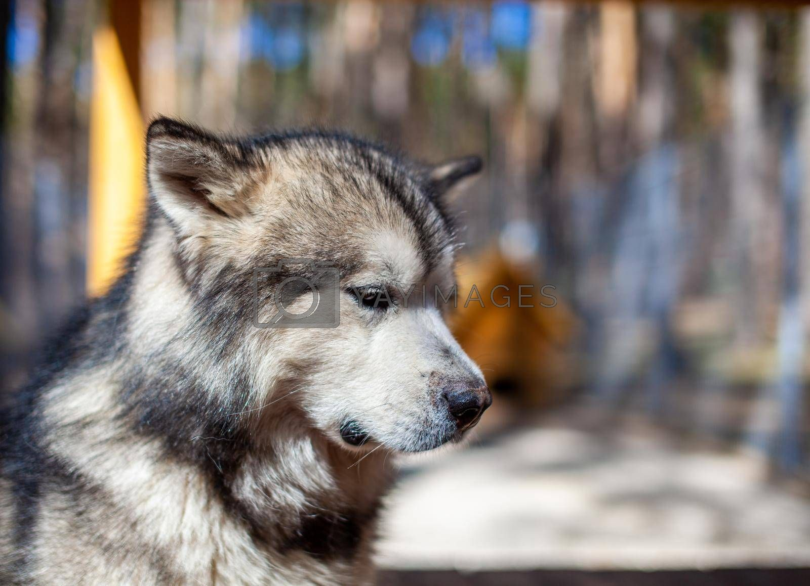 A beautiful and kind Alaskan Malamute shepherd sits in an enclosure behind bars and looks with intelligent eyes. Indoor aviary.