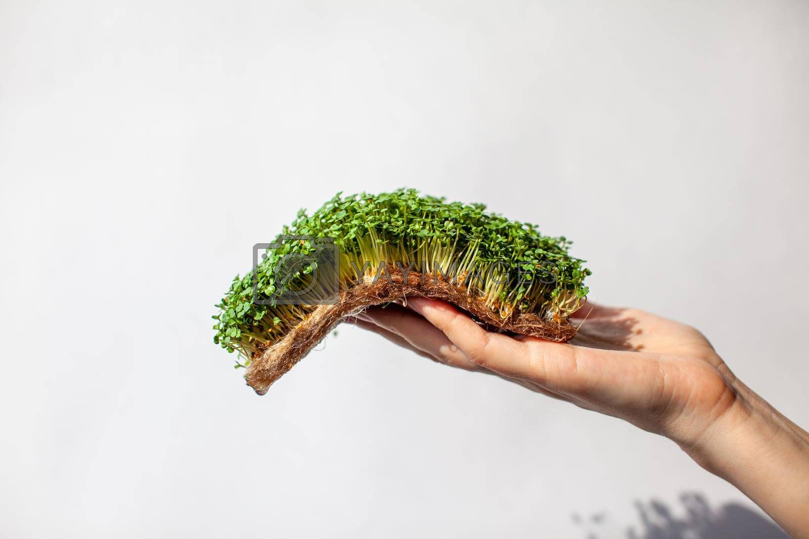 Micro-greens of mustard, arugula and other plants in a woman's hand. Growing mustard sprouts in close-up at home. The concept of vegan and healthy food. Sprouted seeds, micro-greens