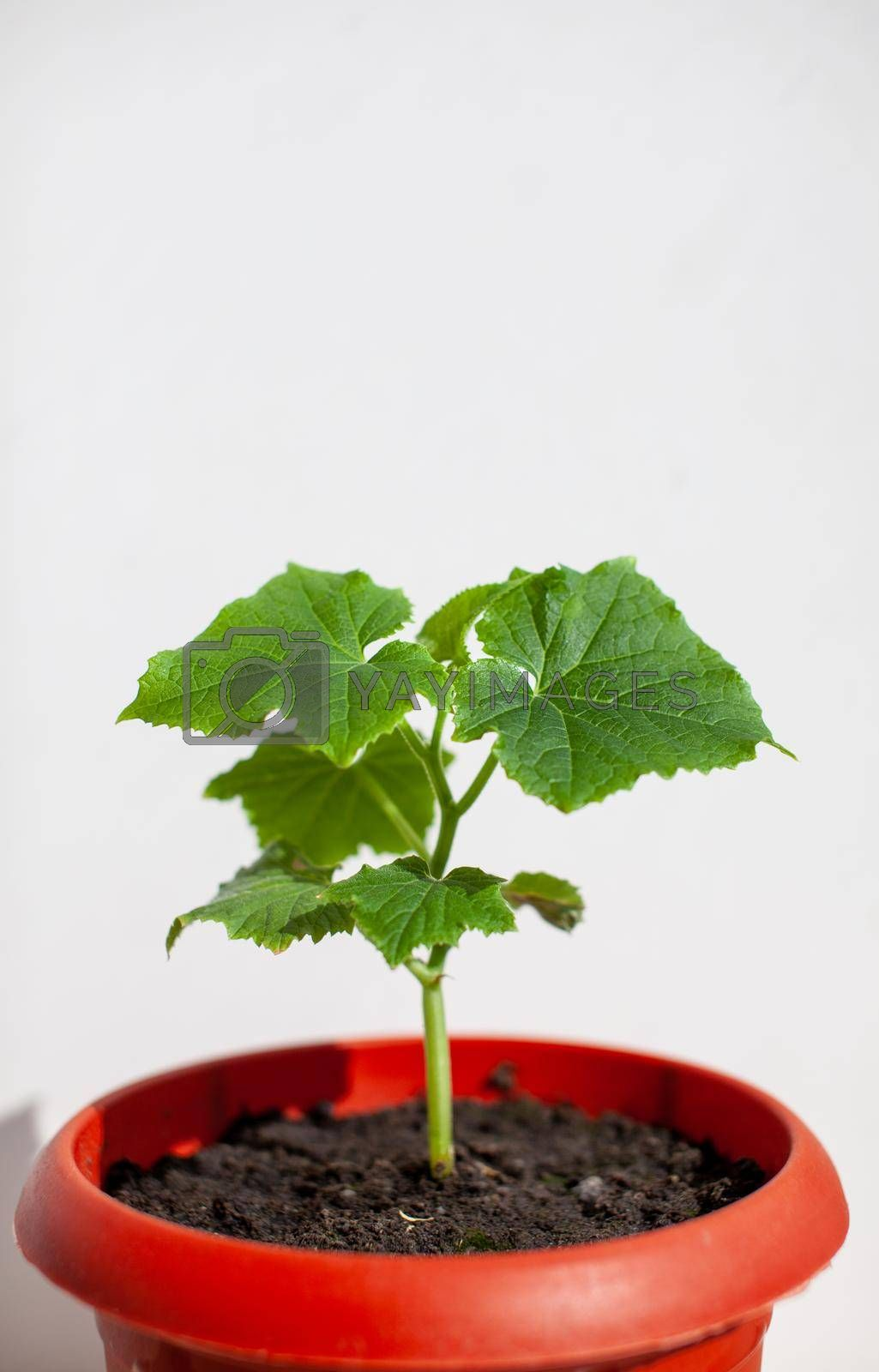 One young cucumber seedling in a pot on a white background. Seedlings grown on the window. The concept of organic food. Vegetarian food.