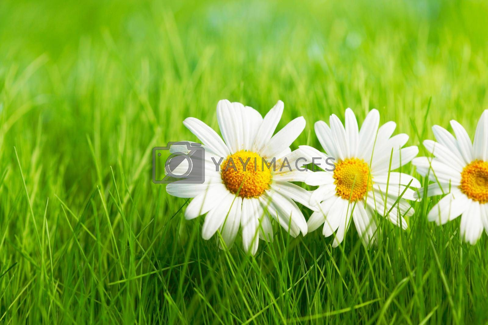 Royalty free image of Chamomile flowers on grass by Yellowj