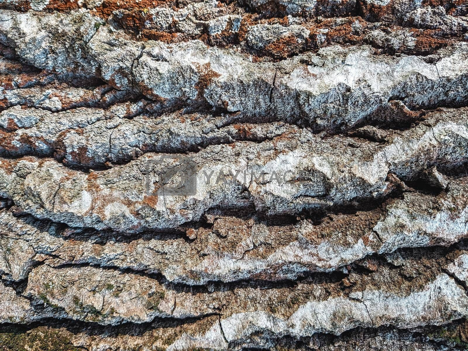 Royalty free image of Close up of old wood texture, surface tree bark by Nickstock