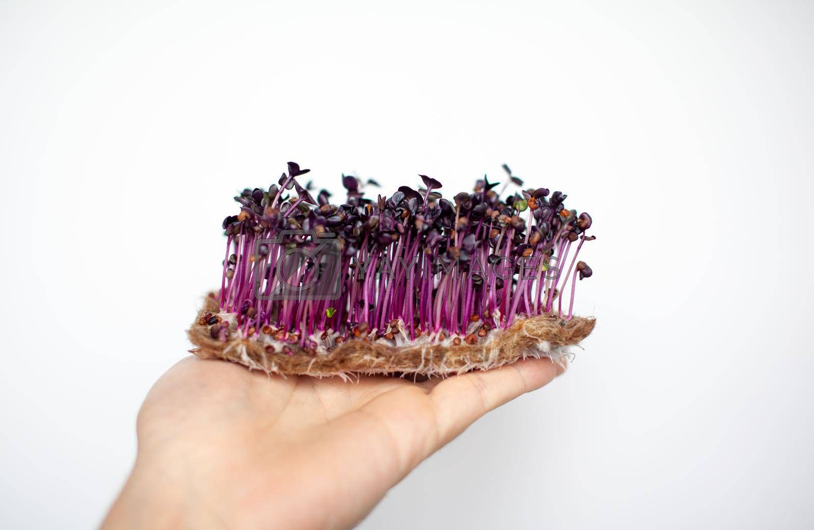 Purple micro-green radish sprouts in your hand. Growing radish or basil sprouts in close-up at home. The concept of vegan and healthy food. Sprouted seeds, micro-greens