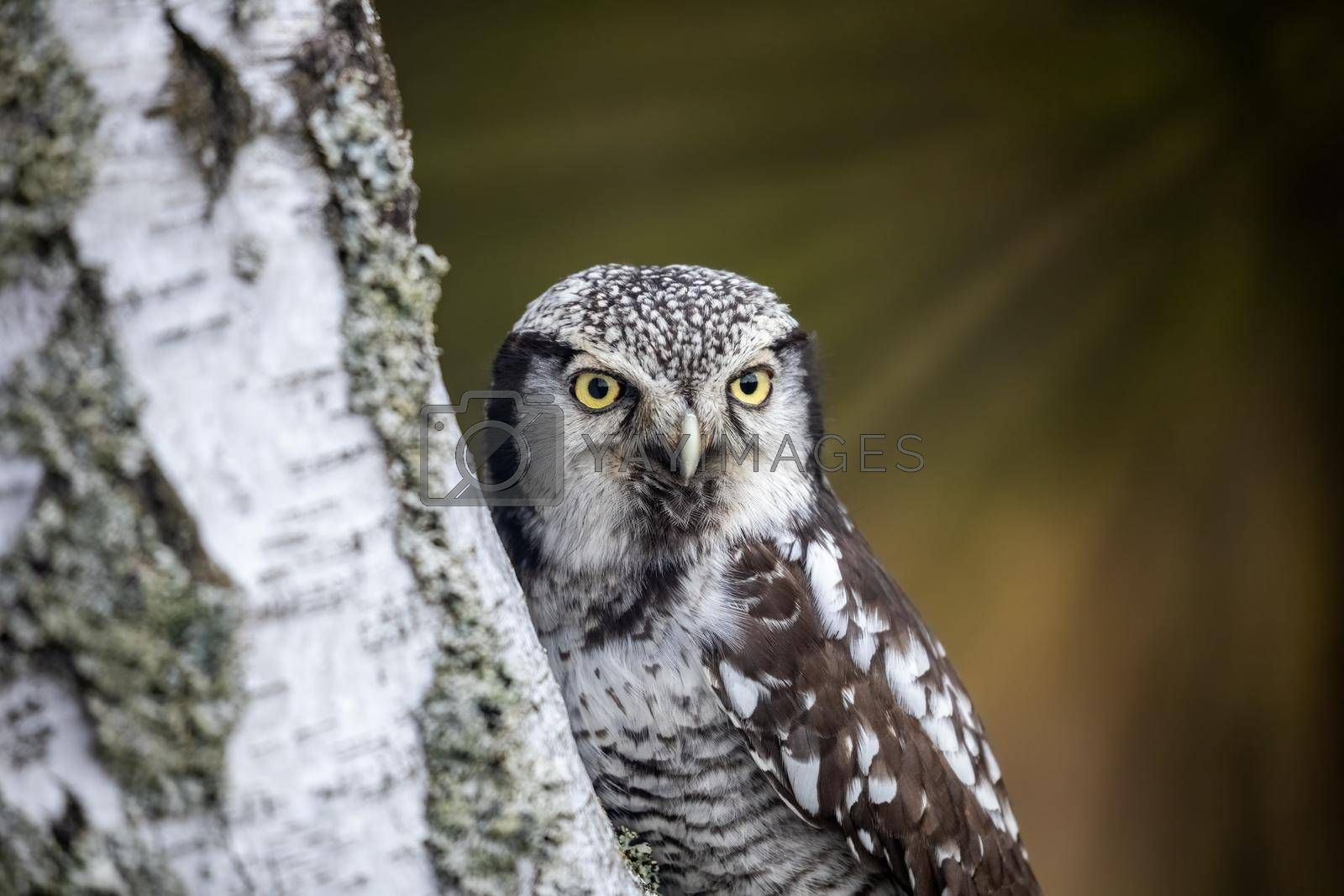 Royalty free image of Portrait of Northern hawk owl on a birch trunk closeup. by Frank11