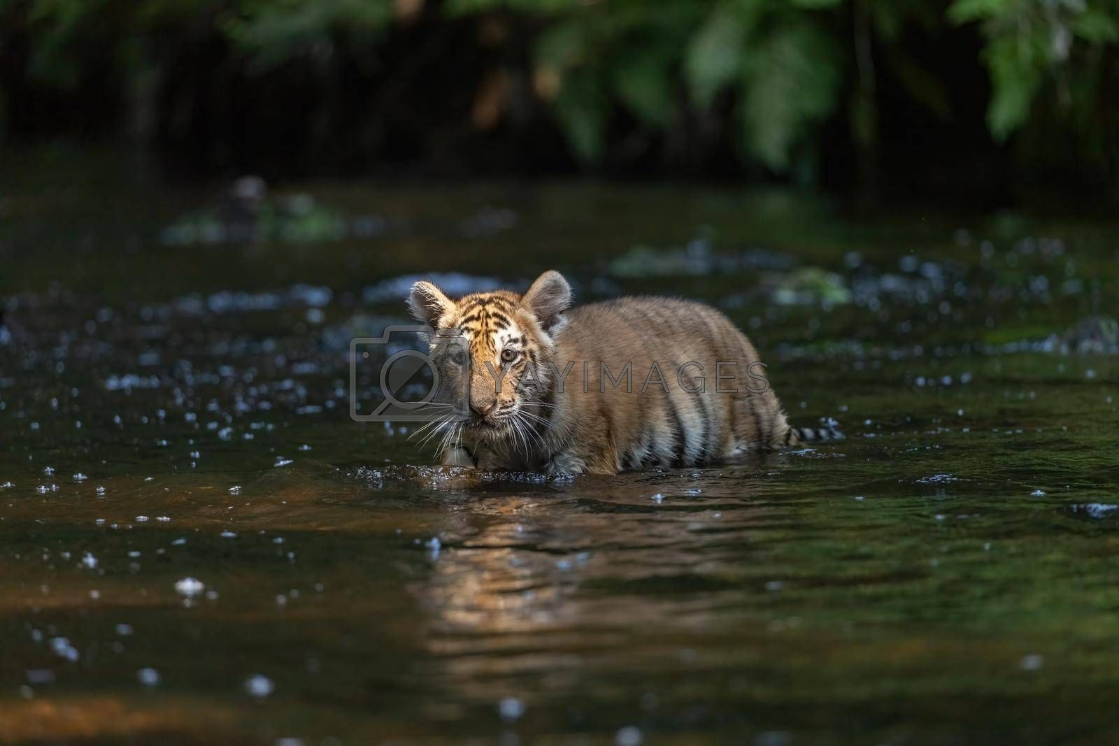 Royalty free image of Bengal tiger cub is walking in the river by Frank11