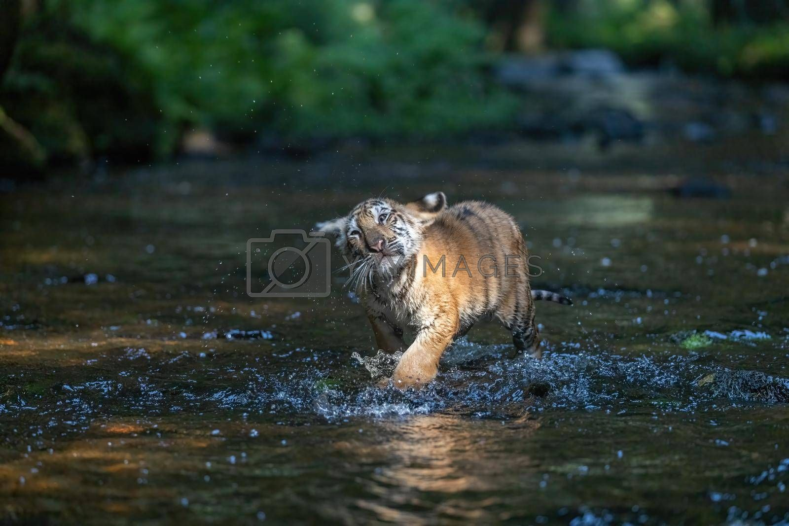 Royalty free image of Cute Bengal tiger cub is running in the river by Frank11