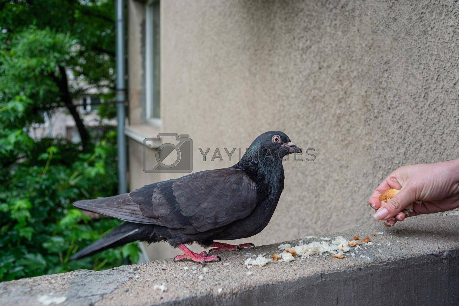 Royalty free image of Female Hand is Dropping a Little Bread For A Pigeon Meal by vilevi