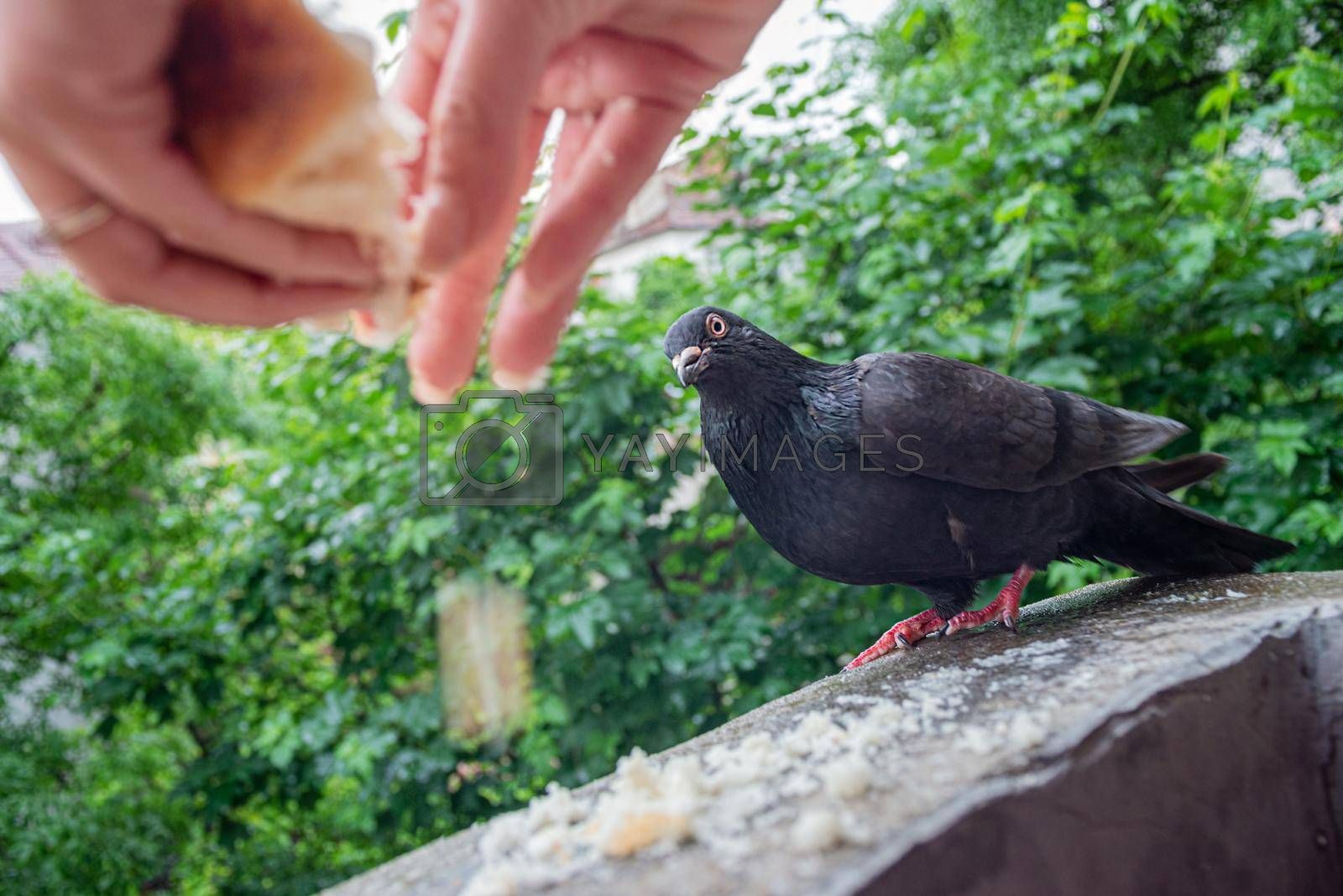 Royalty free image of Female Hands Are Feeding Pigeon On Balcony by vilevi