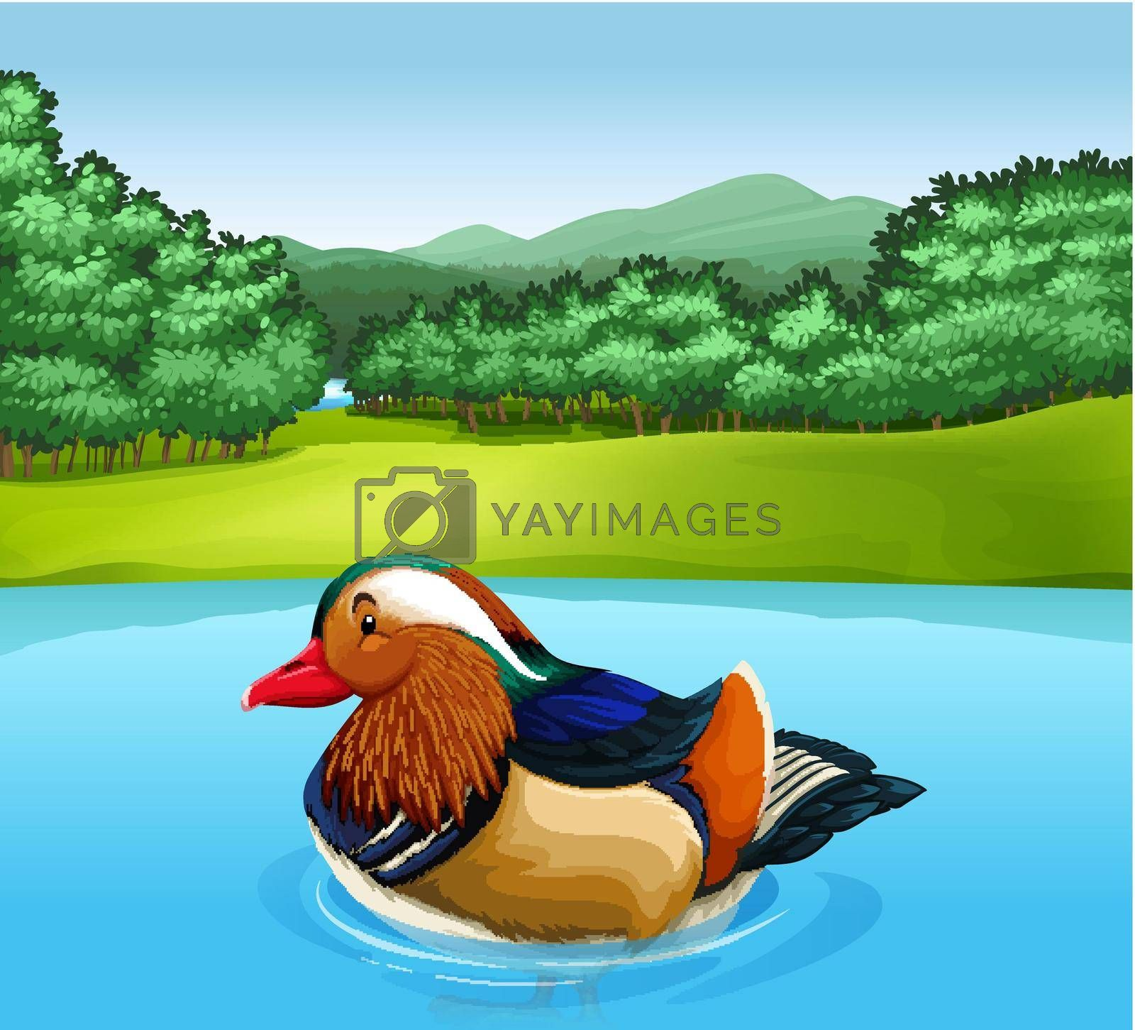 Royalty free image of Madarin duck by iimages