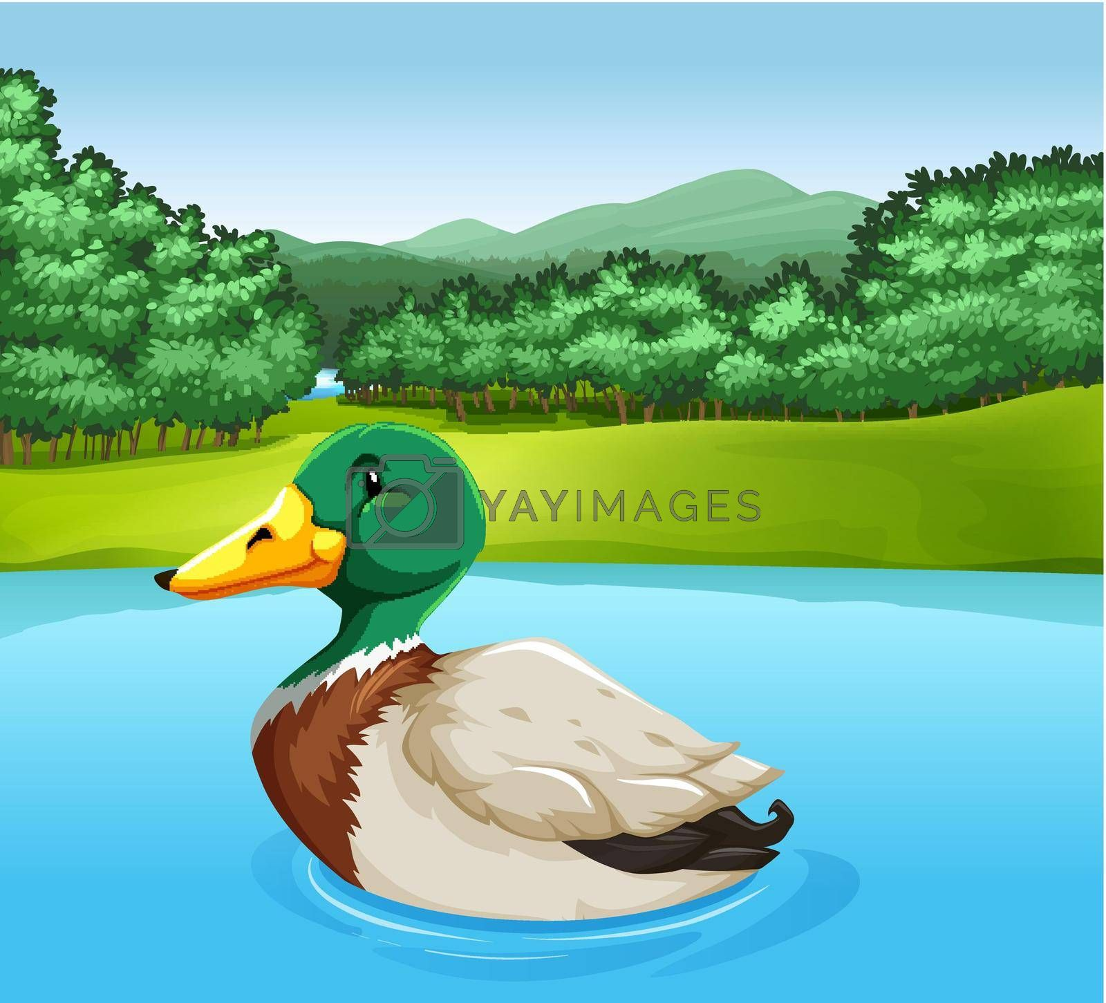 Royalty free image of A duck by iimages