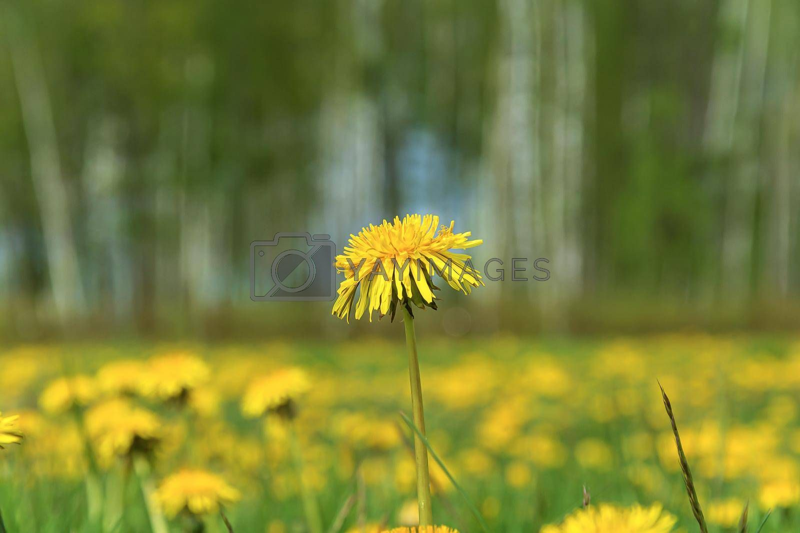 Yellow dandelion flower on a blurred background with bokeh elements. Stock photography.