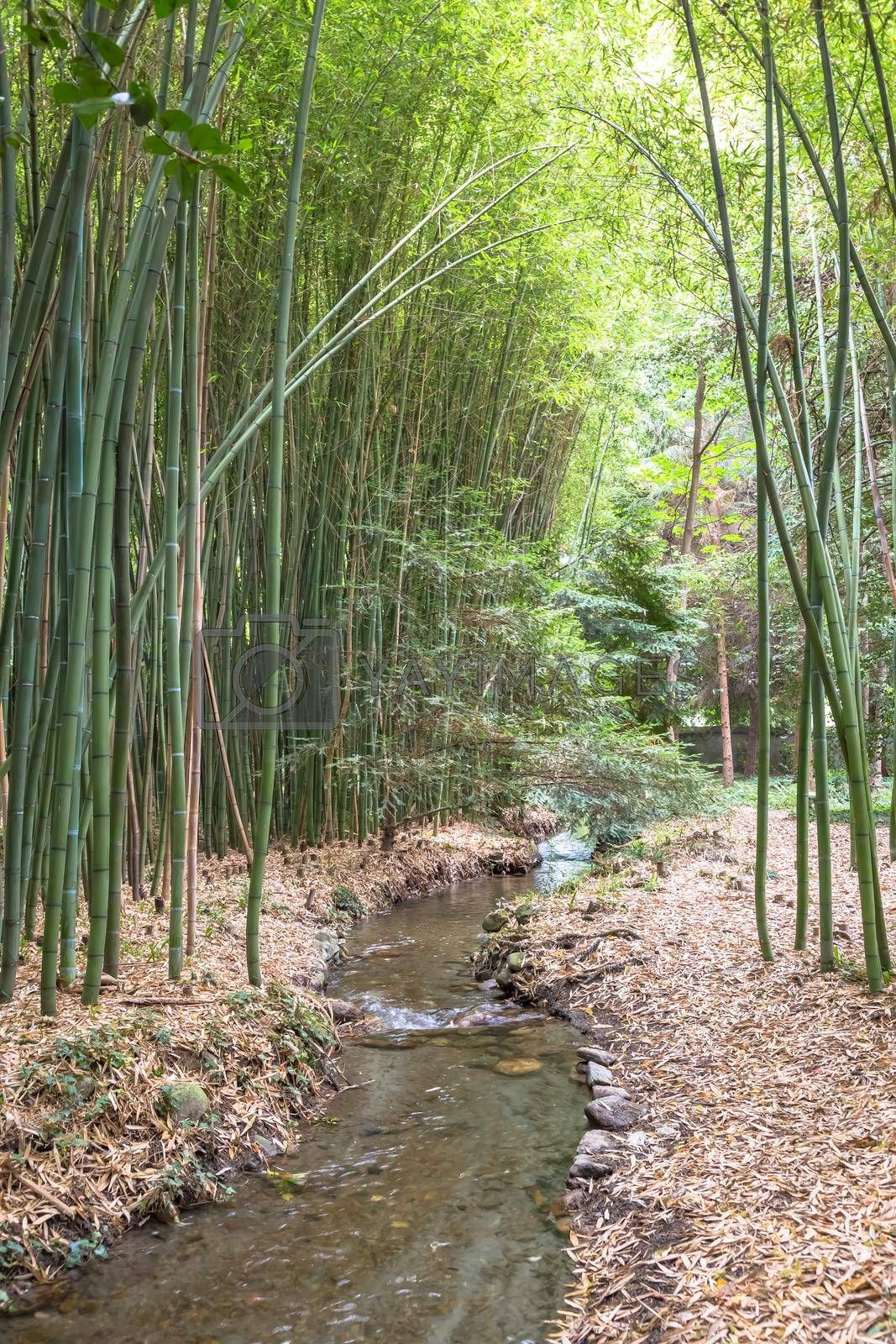 Royalty free image of Bamboo botanical garden. Concept for zen, environment and green life. by Perseomedusa