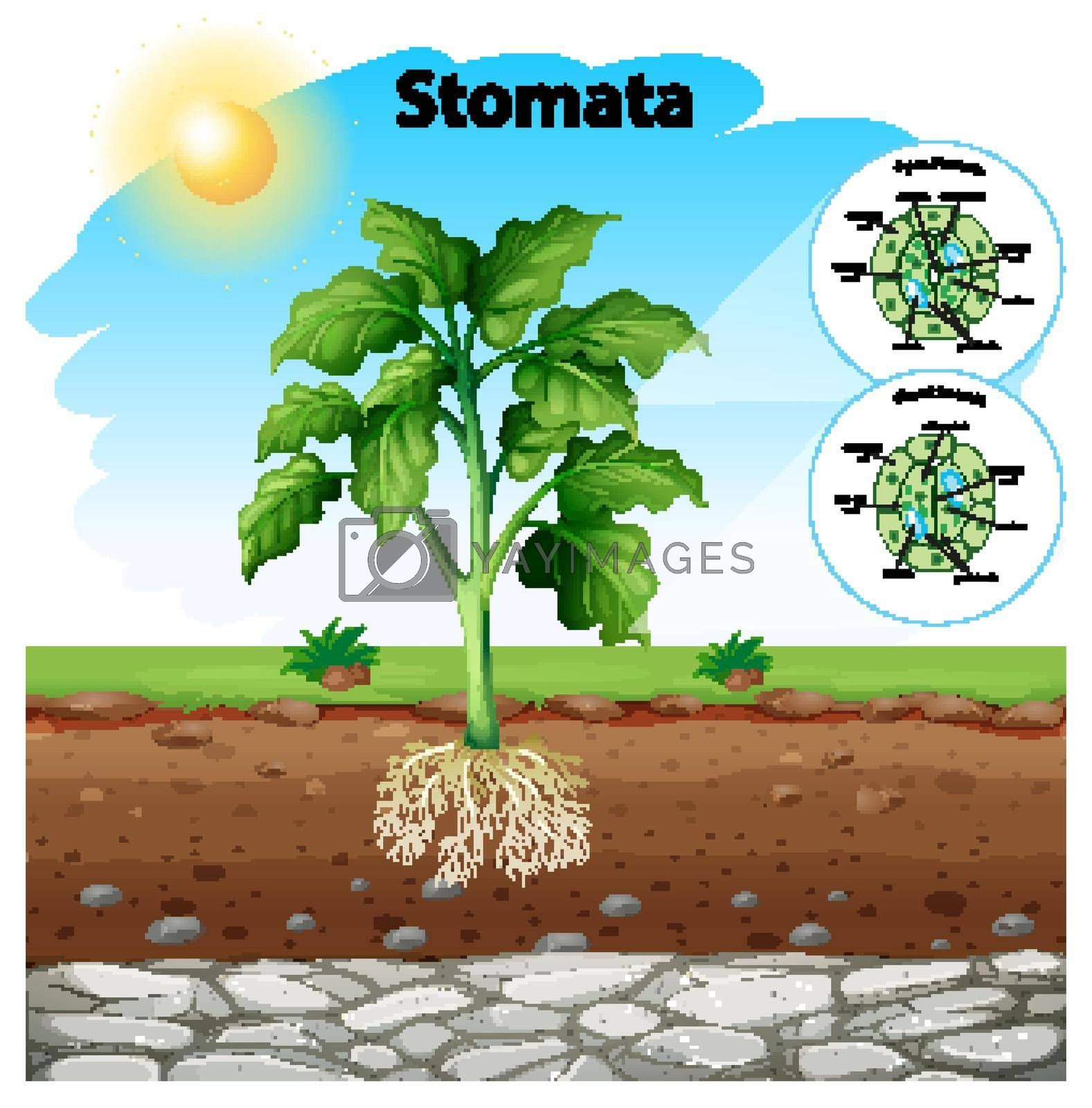 Diagram showing stomata of a plant illustration