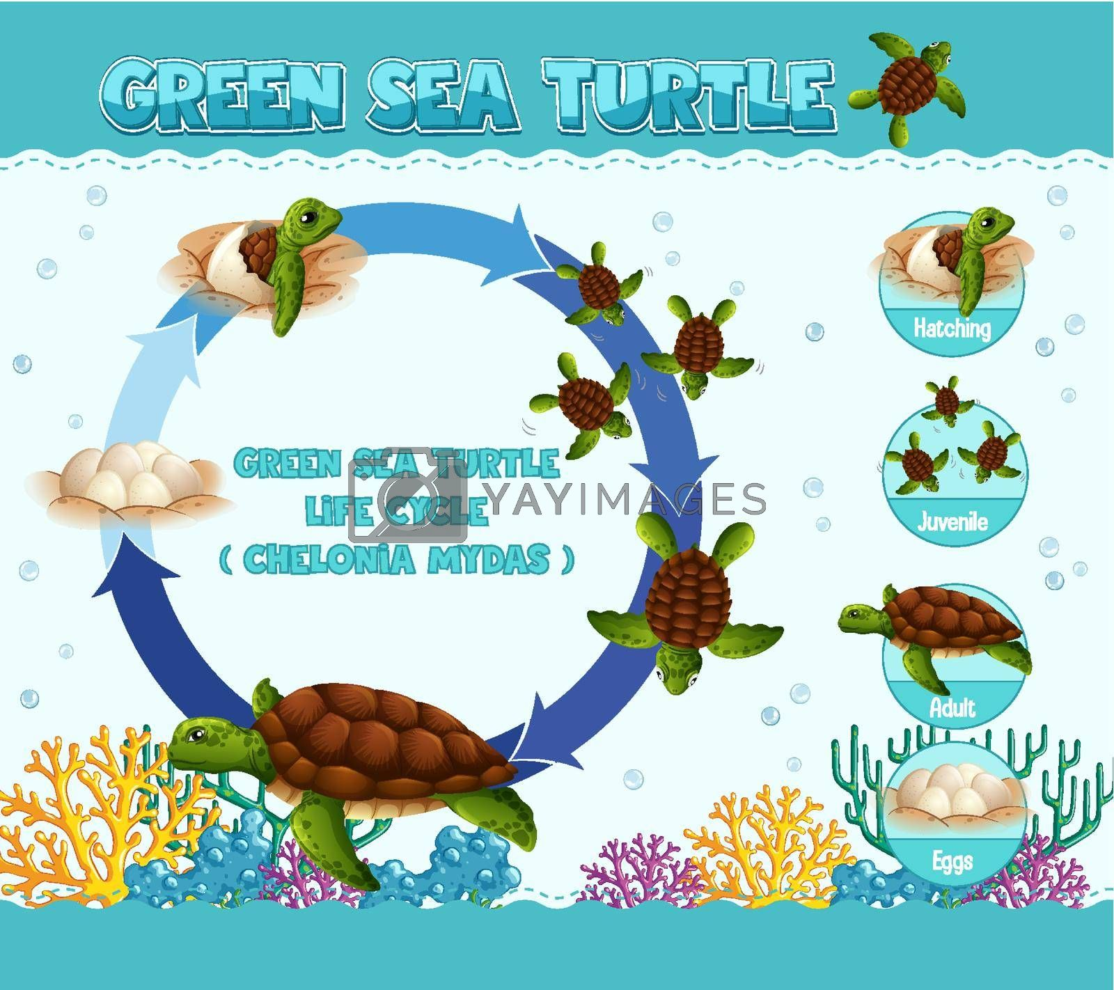 Diagram showing life cycle of Turtle illustration