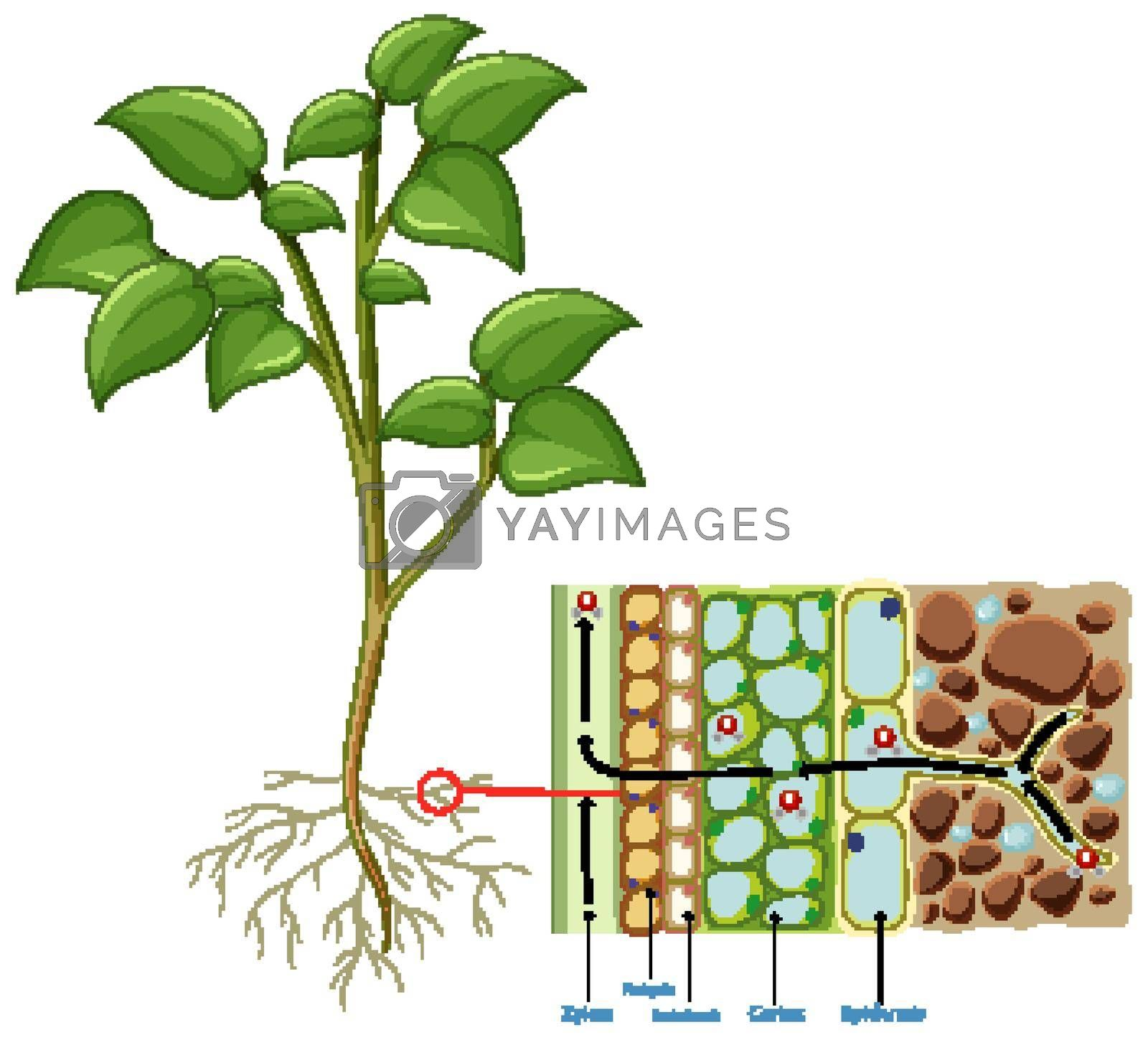 Diagram showing root cell of plant isolated on white background illustration