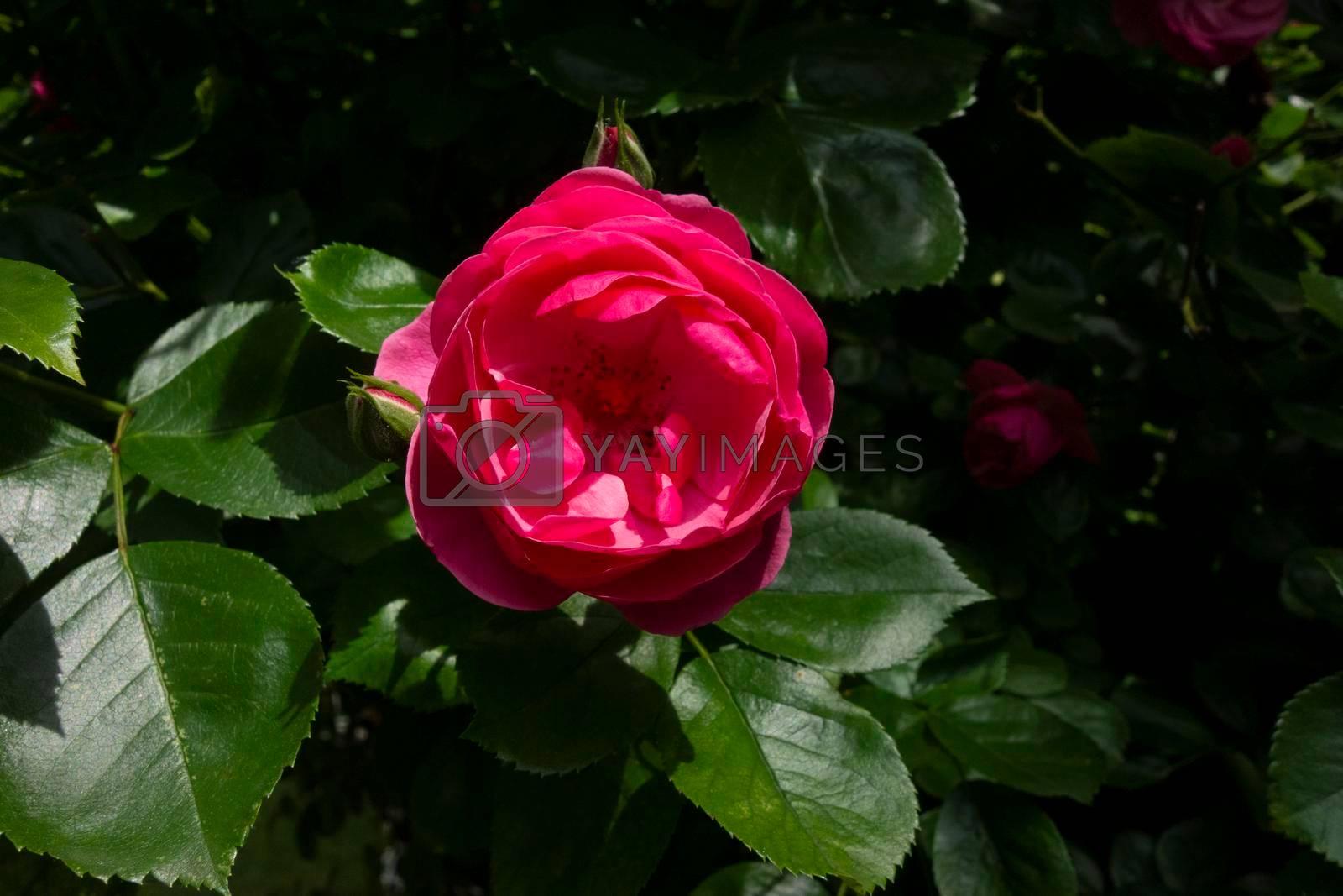 blooming rose flowers as ornamental plants in a rose garden