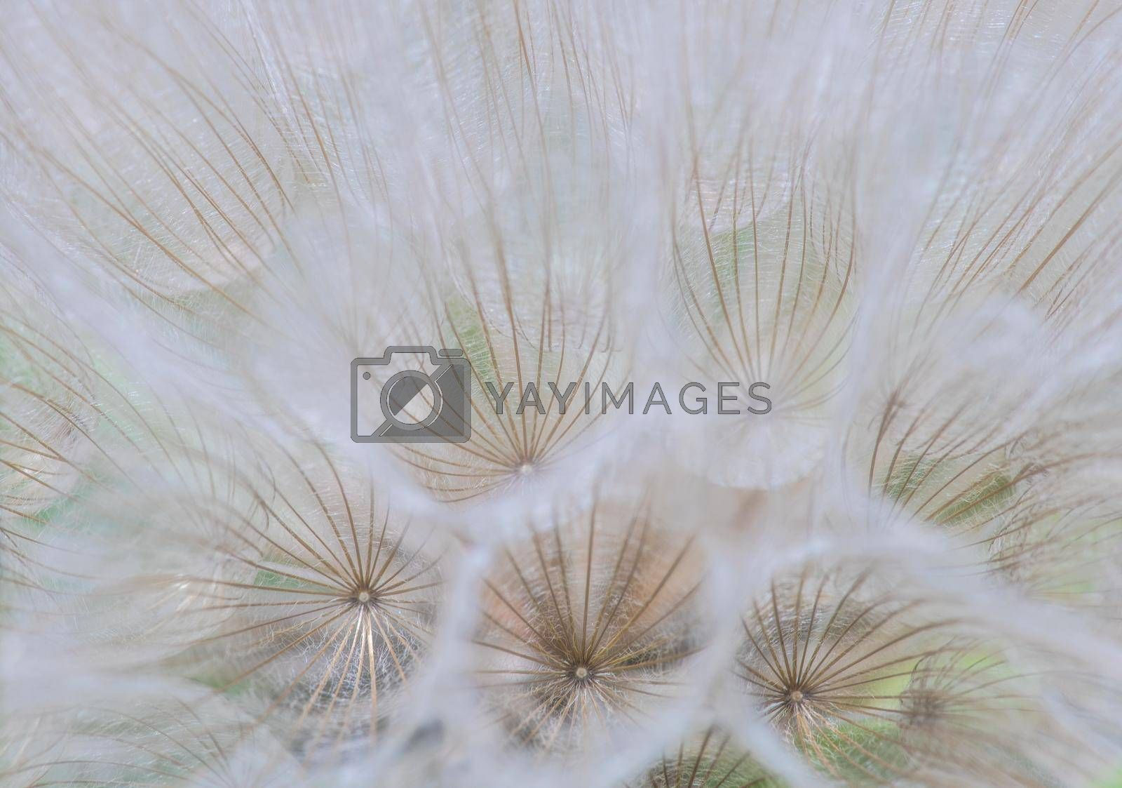 Royalty free image of Summer background with dandelion by Elet