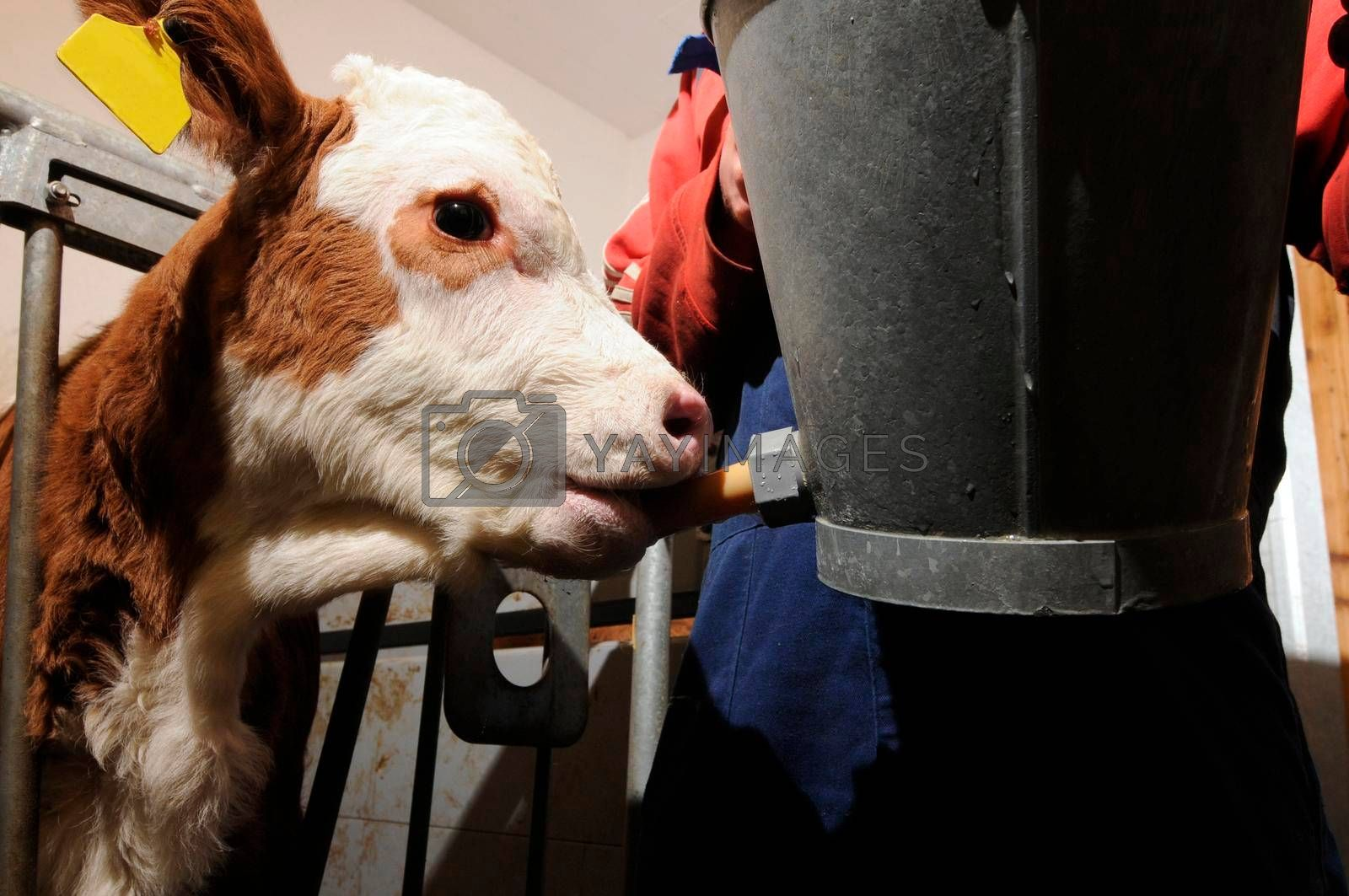 farming feeding a young calf behind the fence, in the cowshed