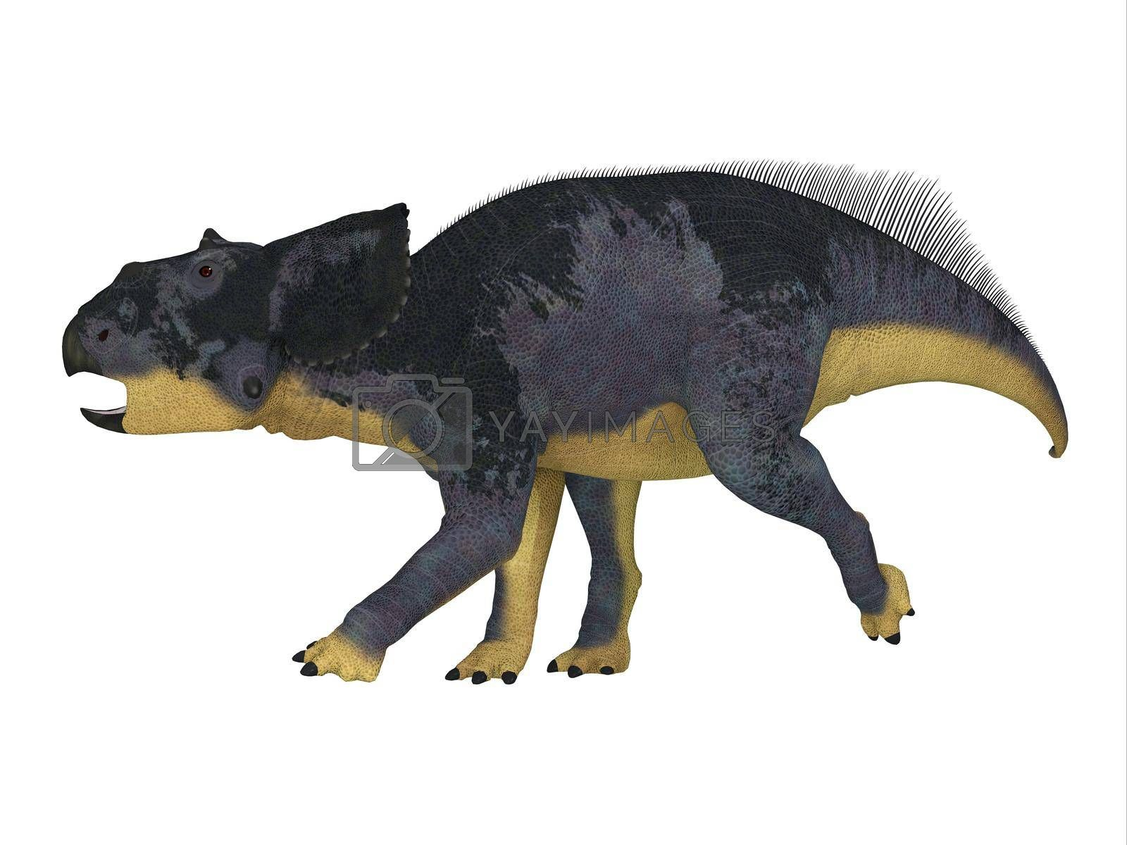 Chasmosaurus was a Ceratopsian herbivorous dinosaur that lived in Alberta, Canada during the Cretaceous Period.