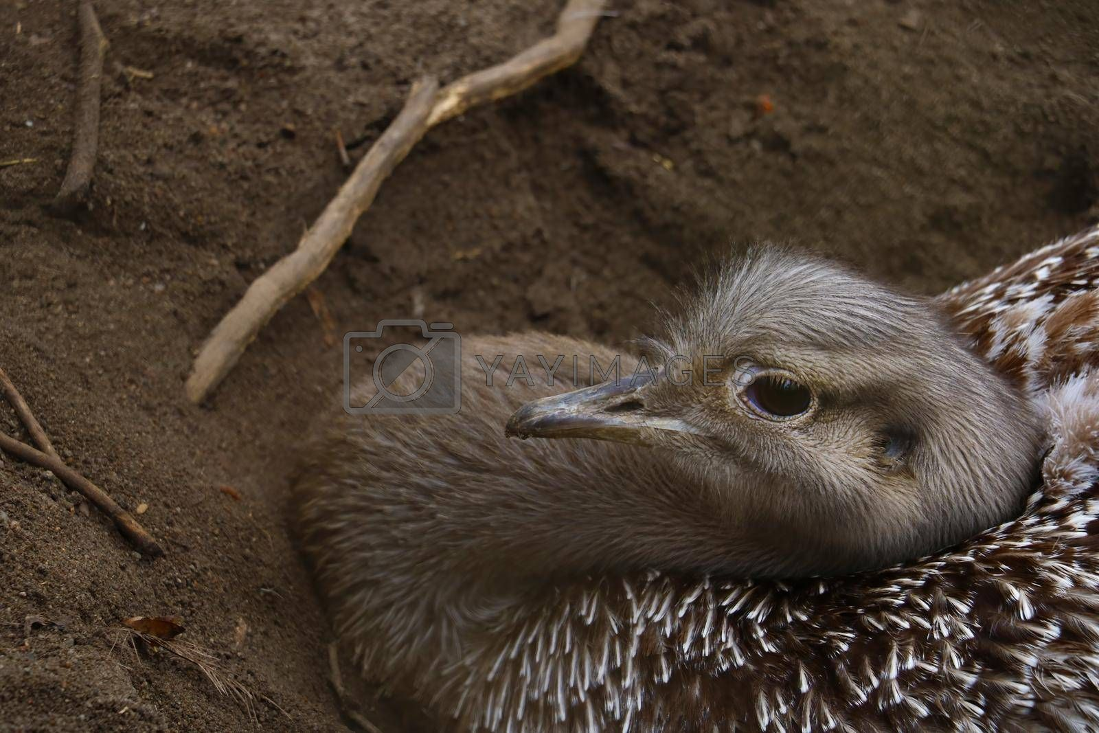 Royalty free image of Close-up of an ostrich sitting in the sand and incubating eggs. by kip02kas