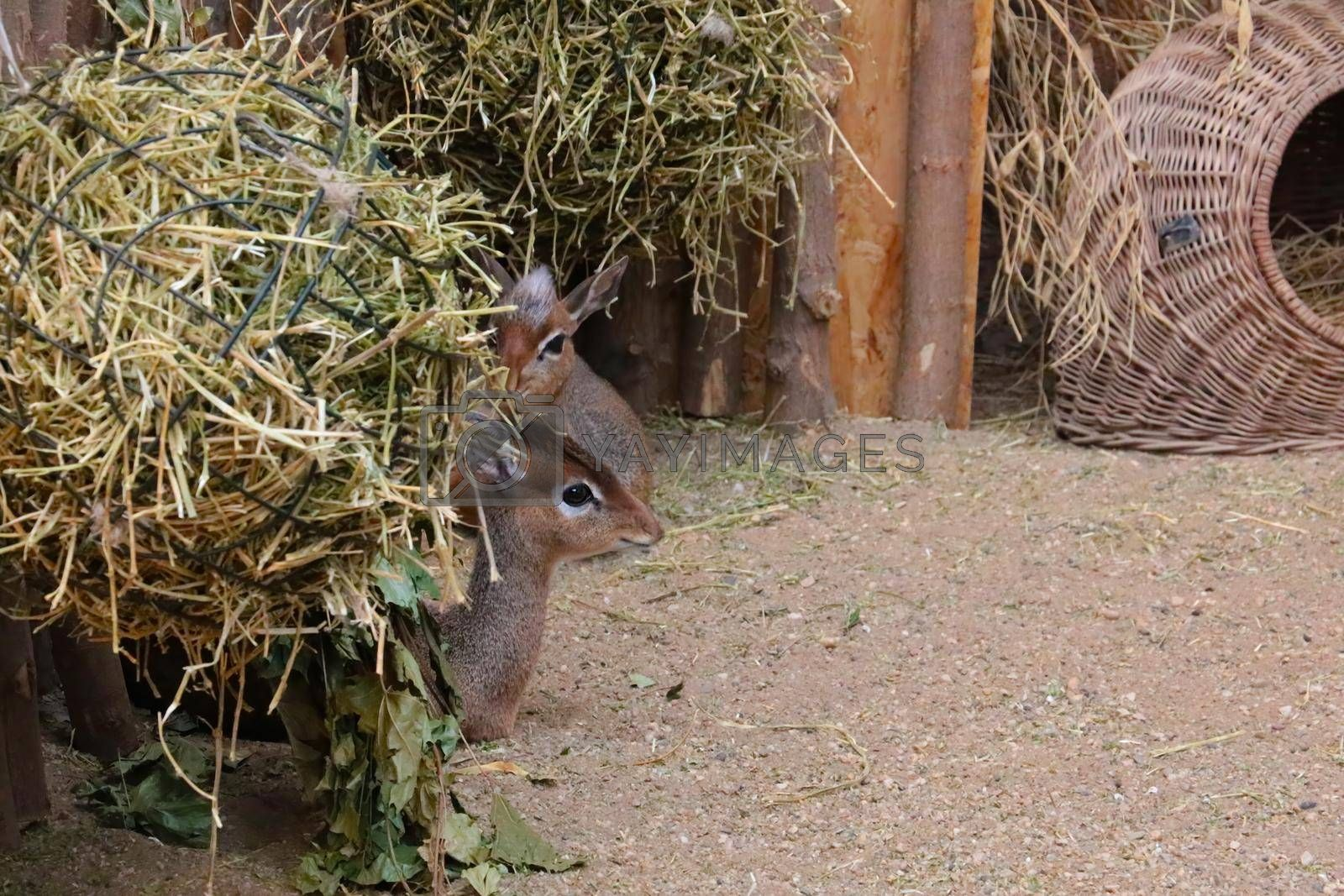 Royalty free image of A small antelope is hiding from the hay. by kip02kas