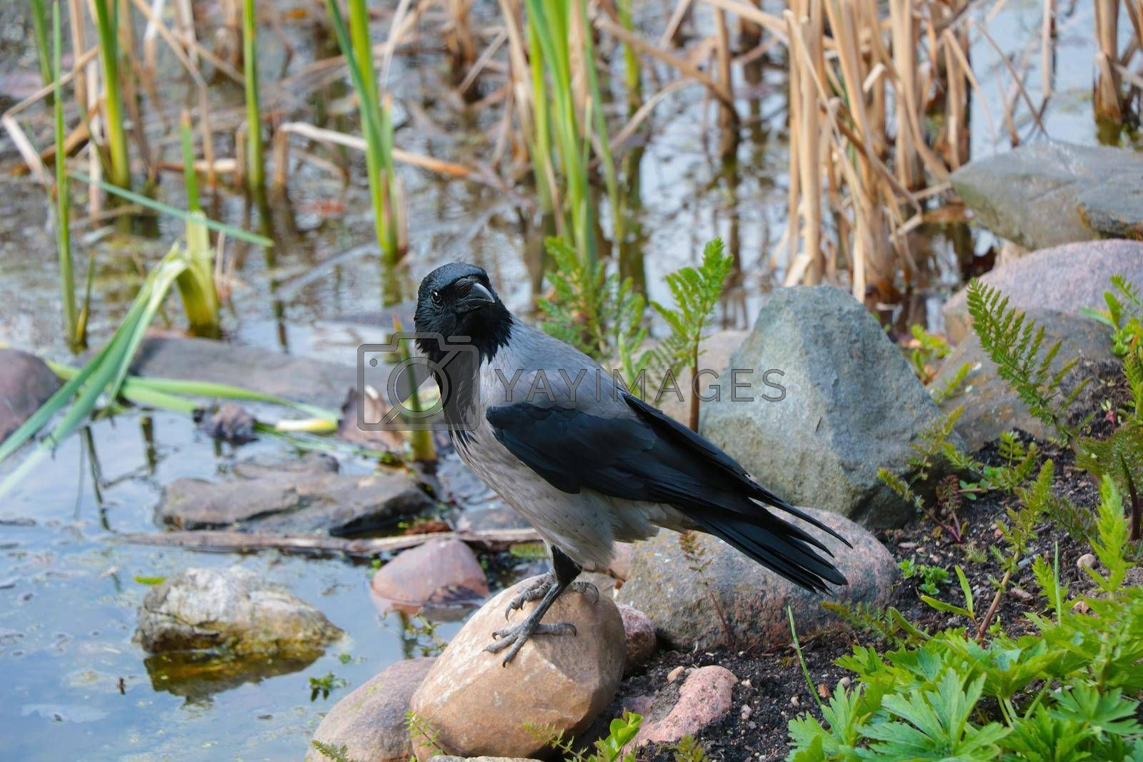 Royalty free image of Close-up of a black crow standing on a stone. by kip02kas