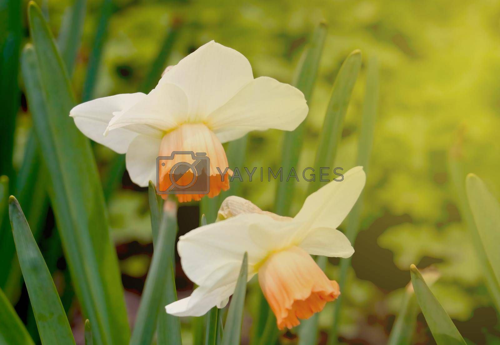 Royalty free image of Blooming daffodils in the garden during sunset. by kip02kas
