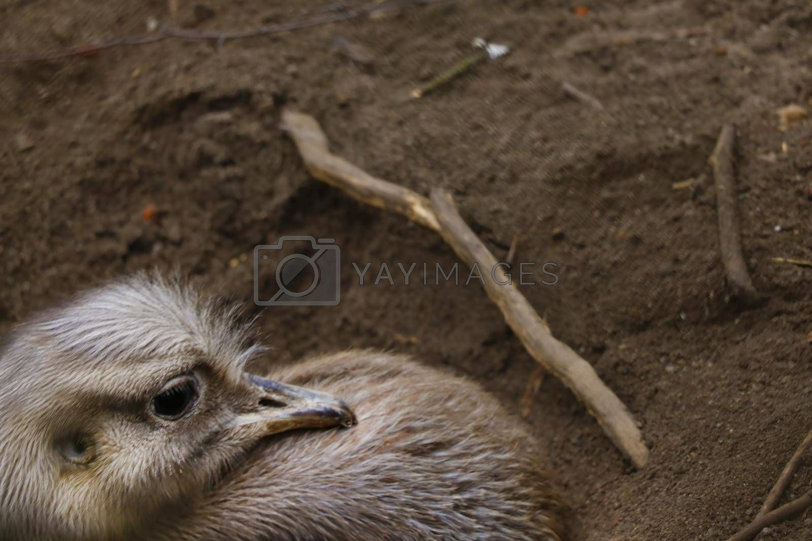 Royalty free image of Blurred background. Out of focus. Ostrich close-up. by kip02kas